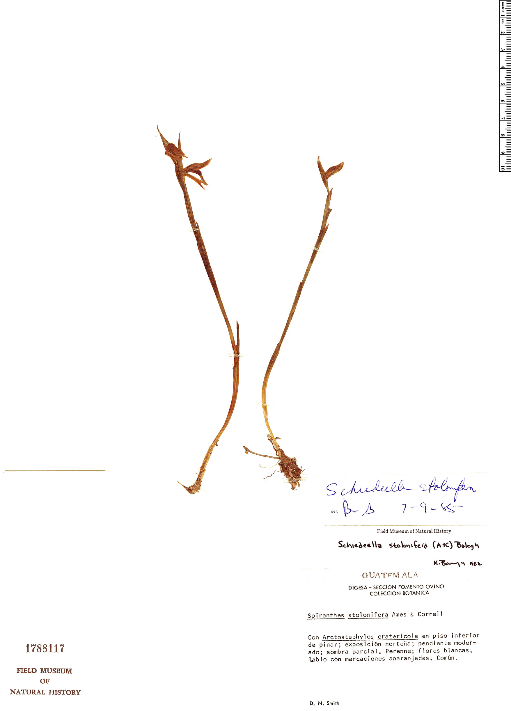 Specimen: Schiedeella stolonifera