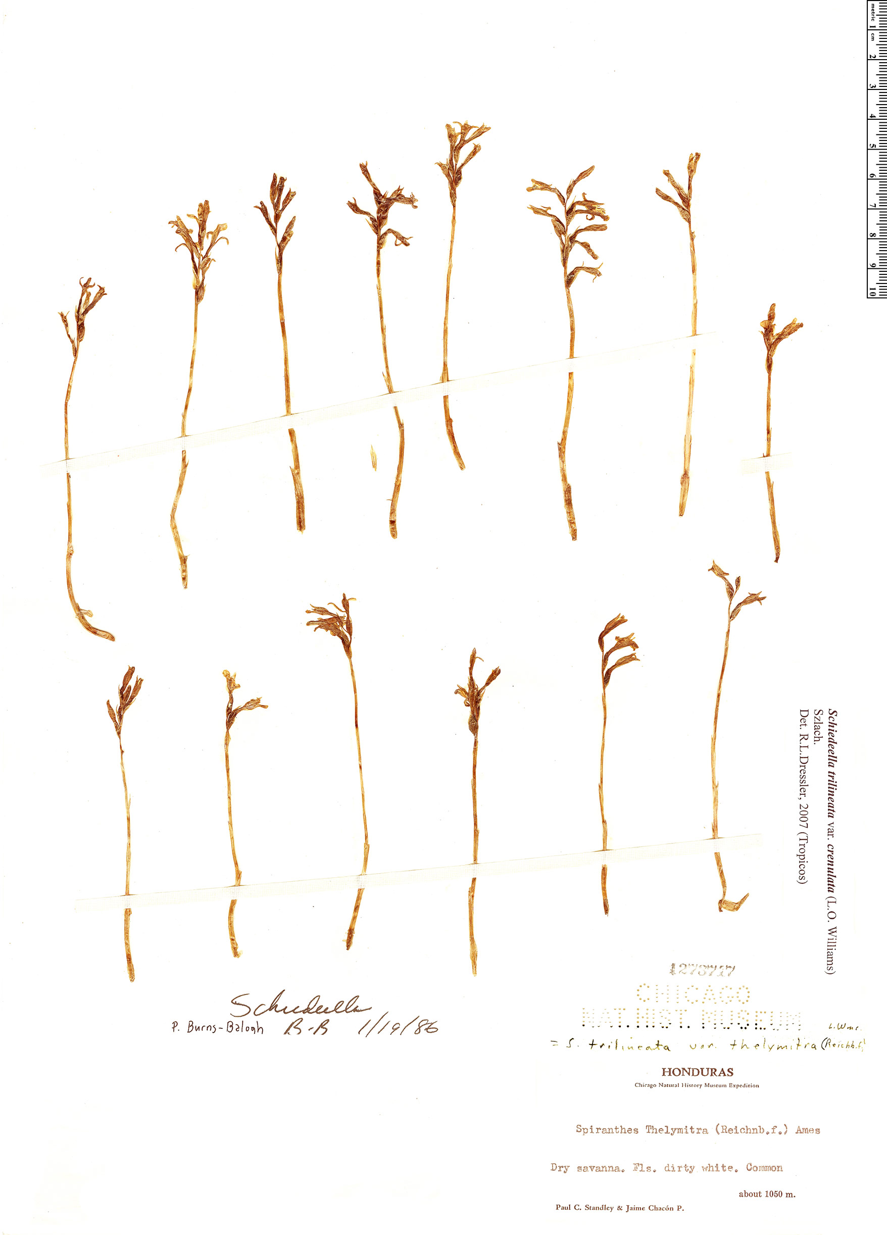Espécimen: Schiedeella trilineata