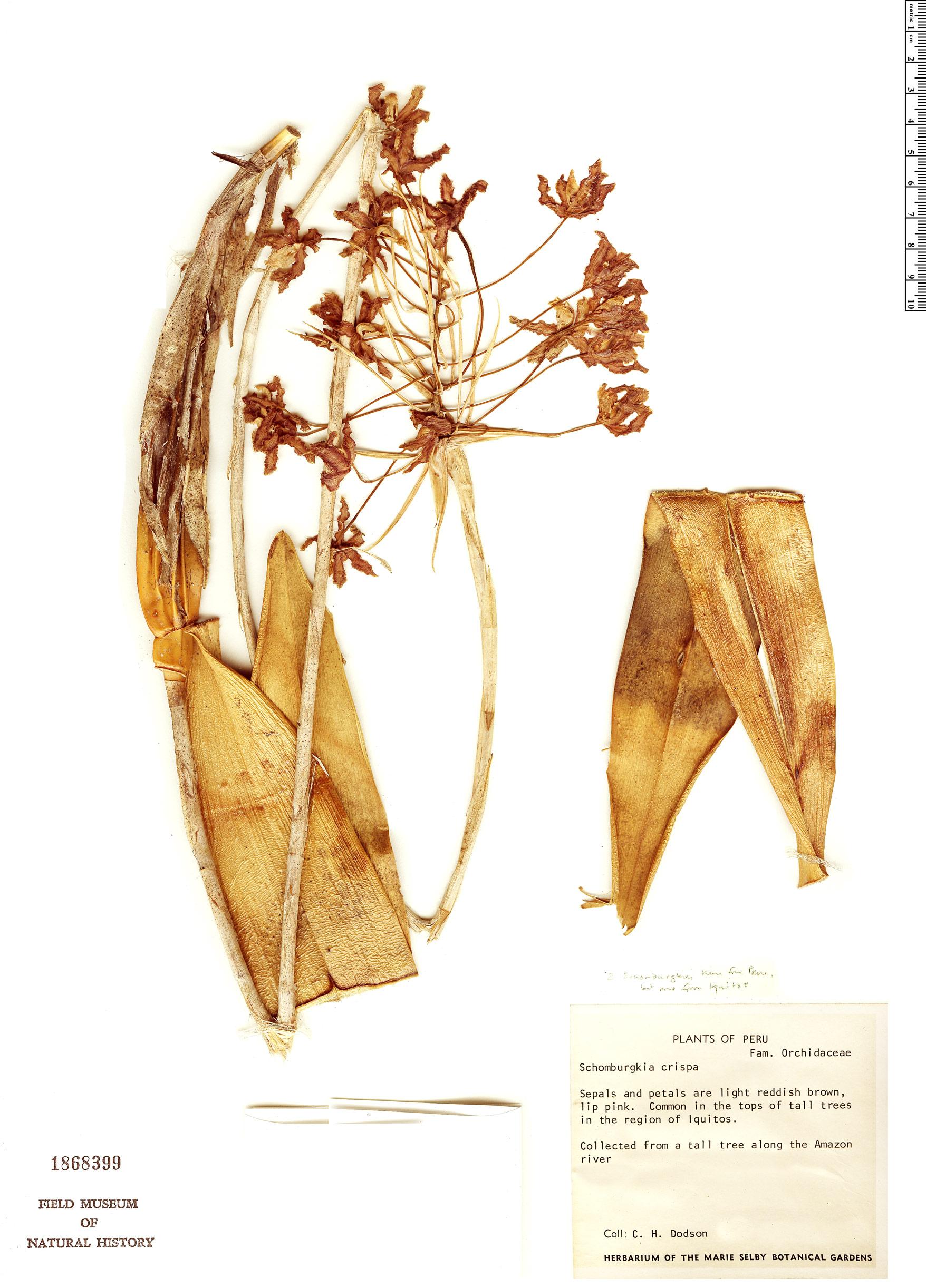 Espécimen: Laelia marginata
