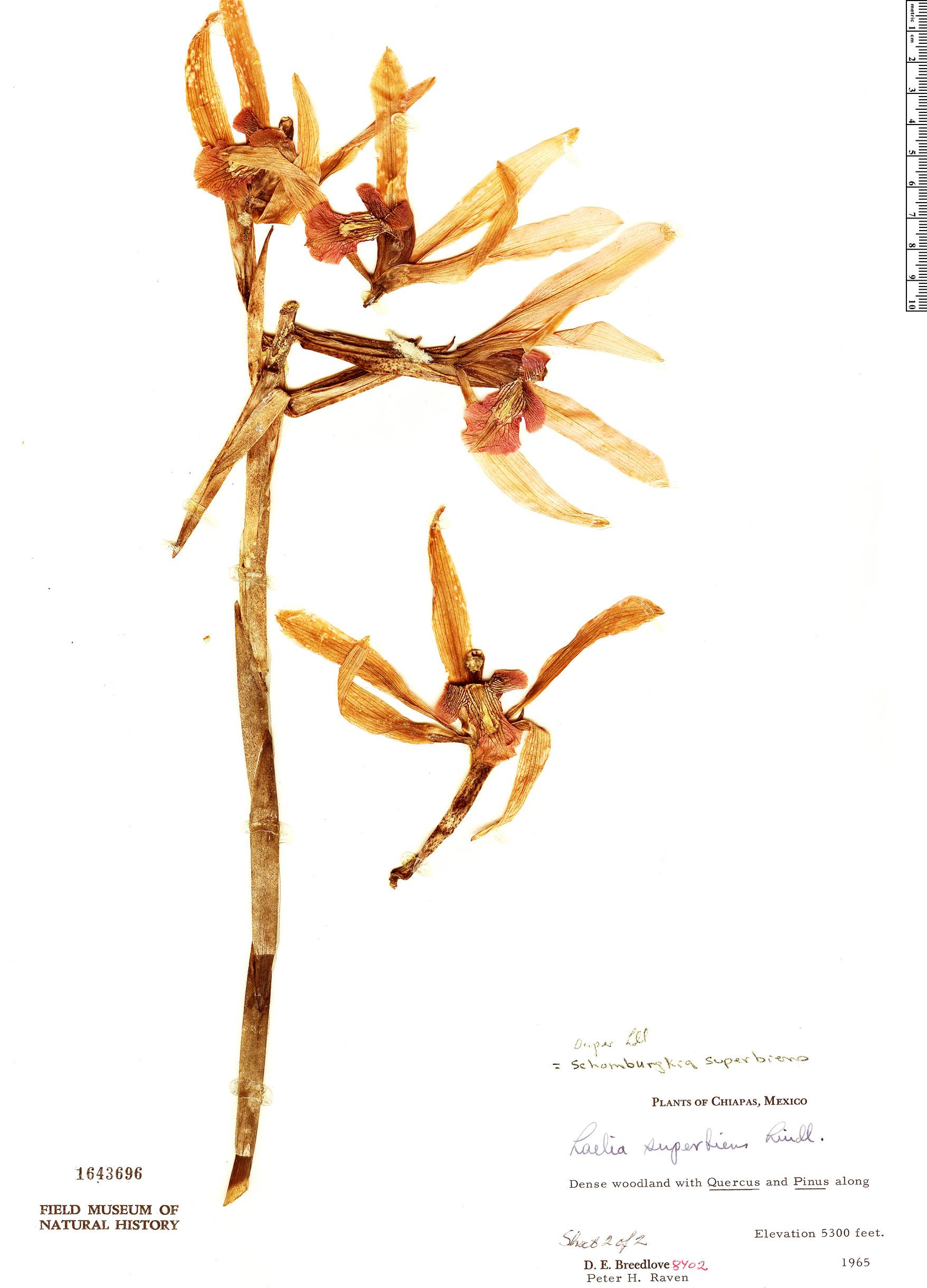 Specimen: Laelia superbiens