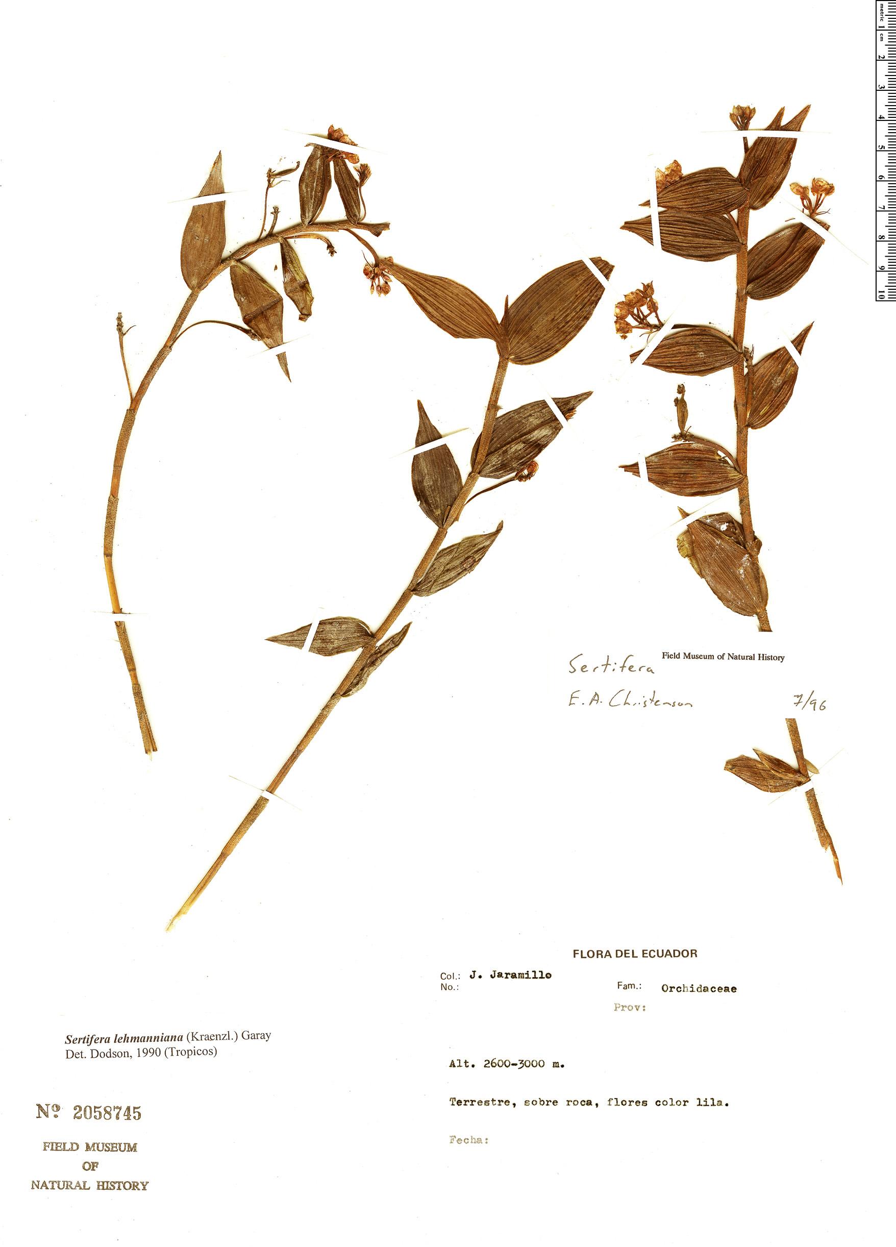 Specimen: Sertifera lehmanniana