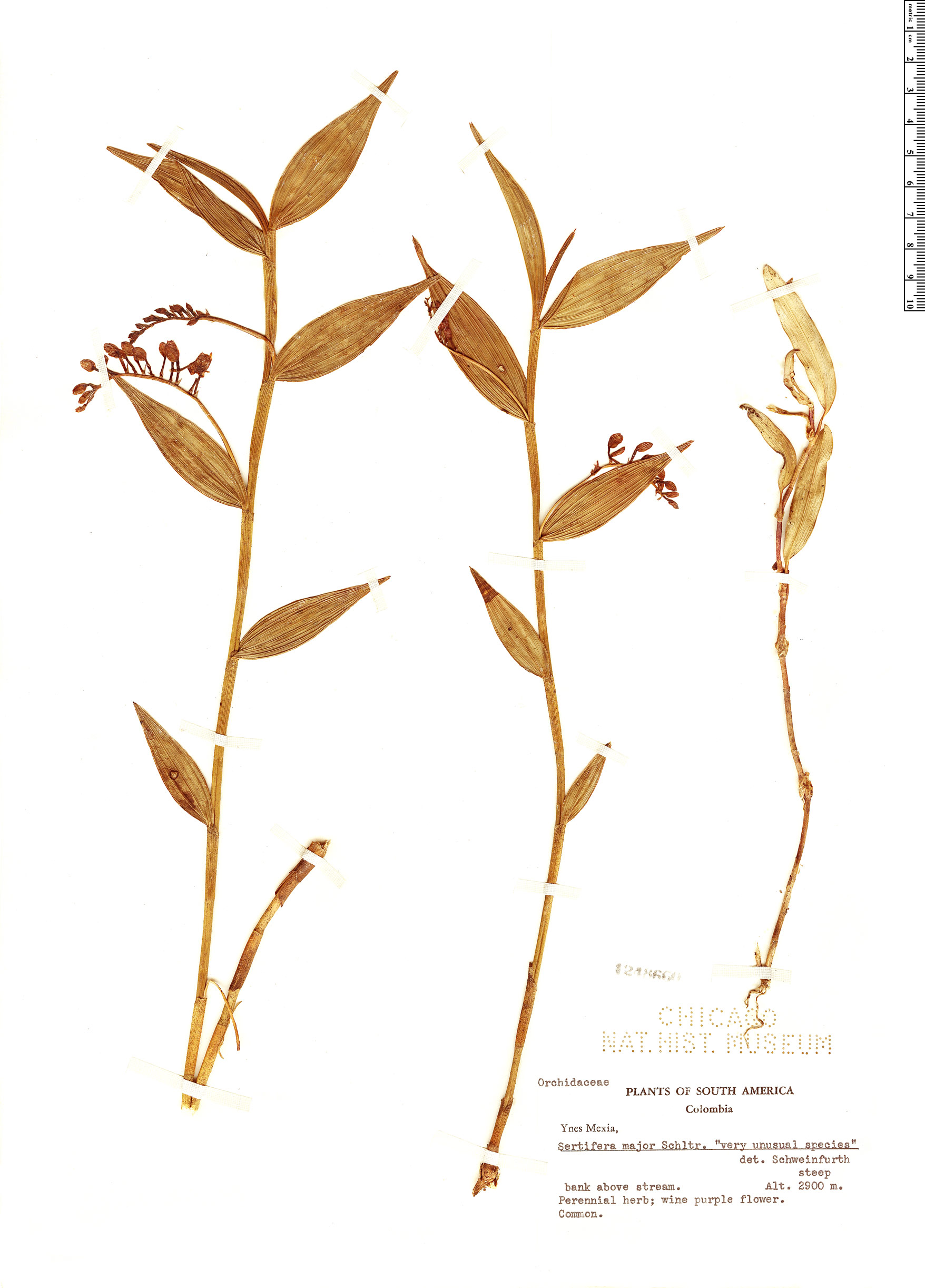 Specimen: Sertifera major