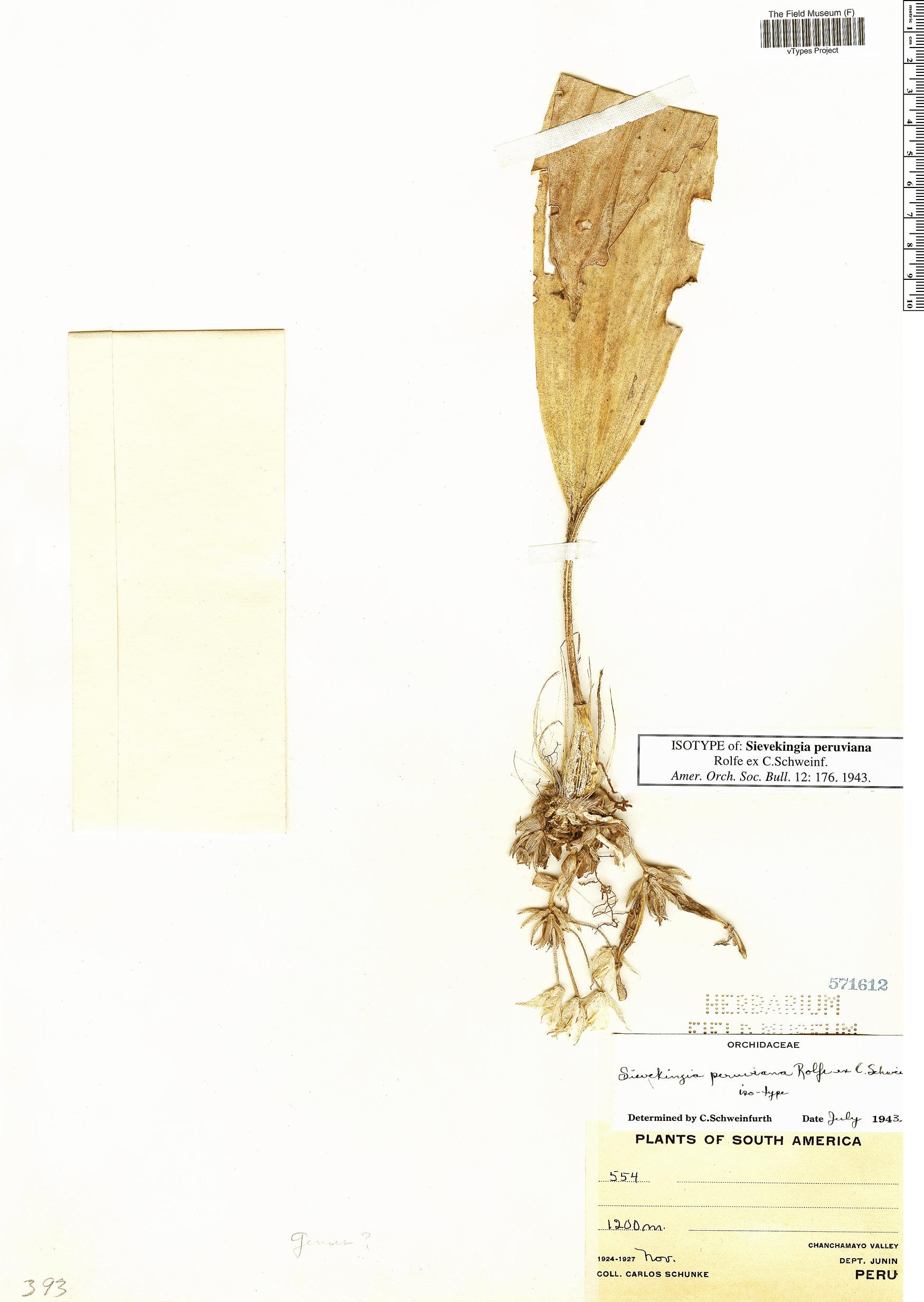 Specimen: Sievekingia peruviana
