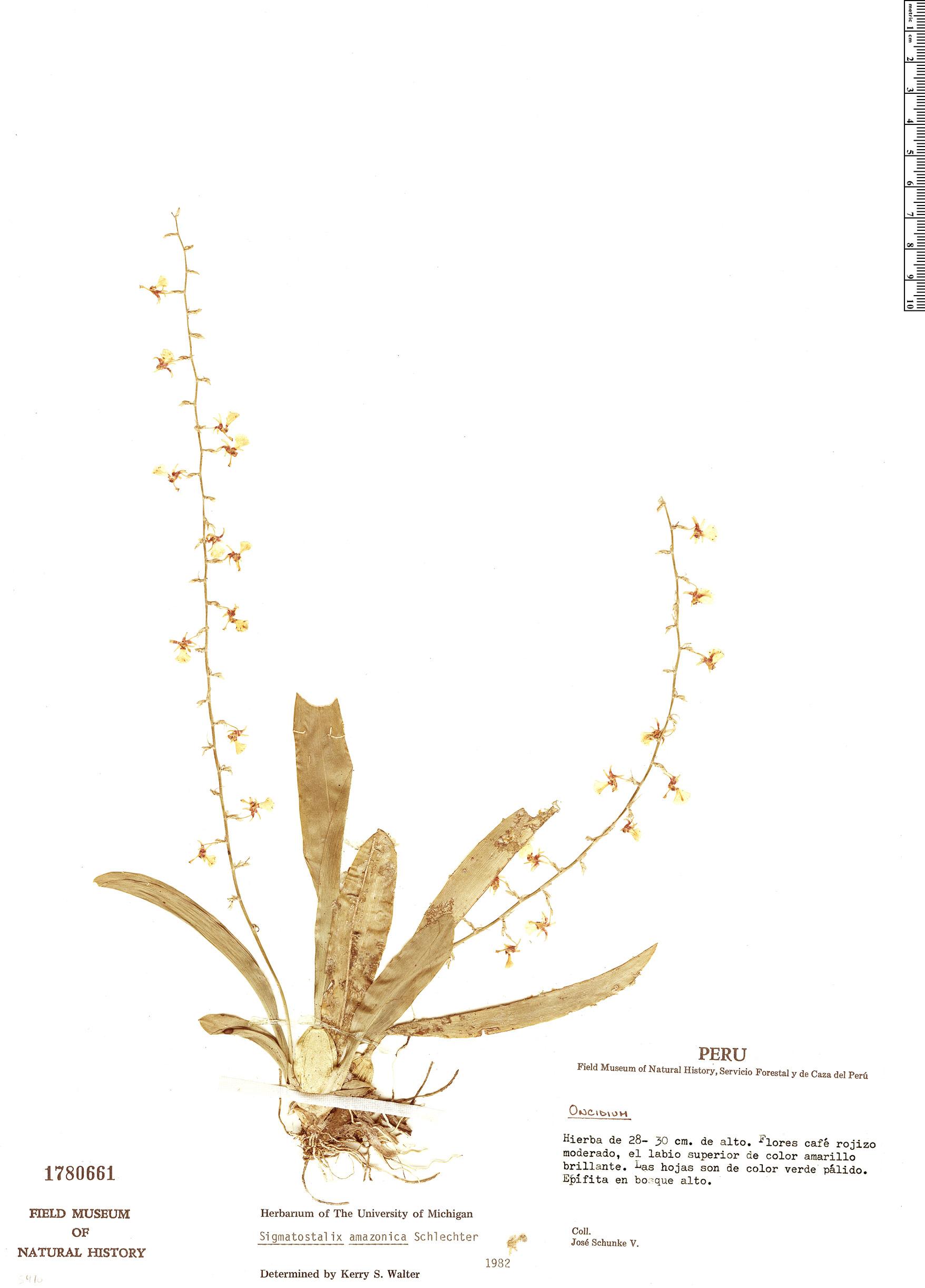 Specimen: Sigmatostalix amazonica