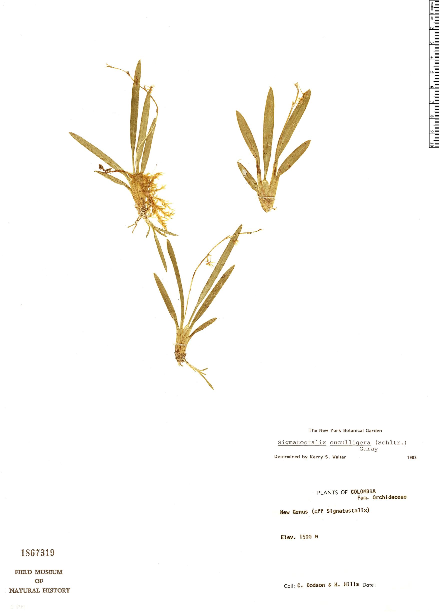 Specimen: Sigmatostalix cuculligera