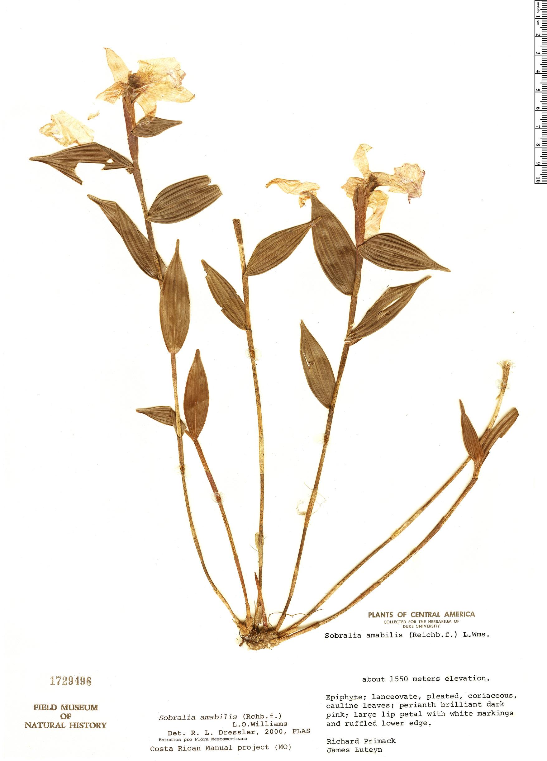 Specimen: Sobralia amabilis