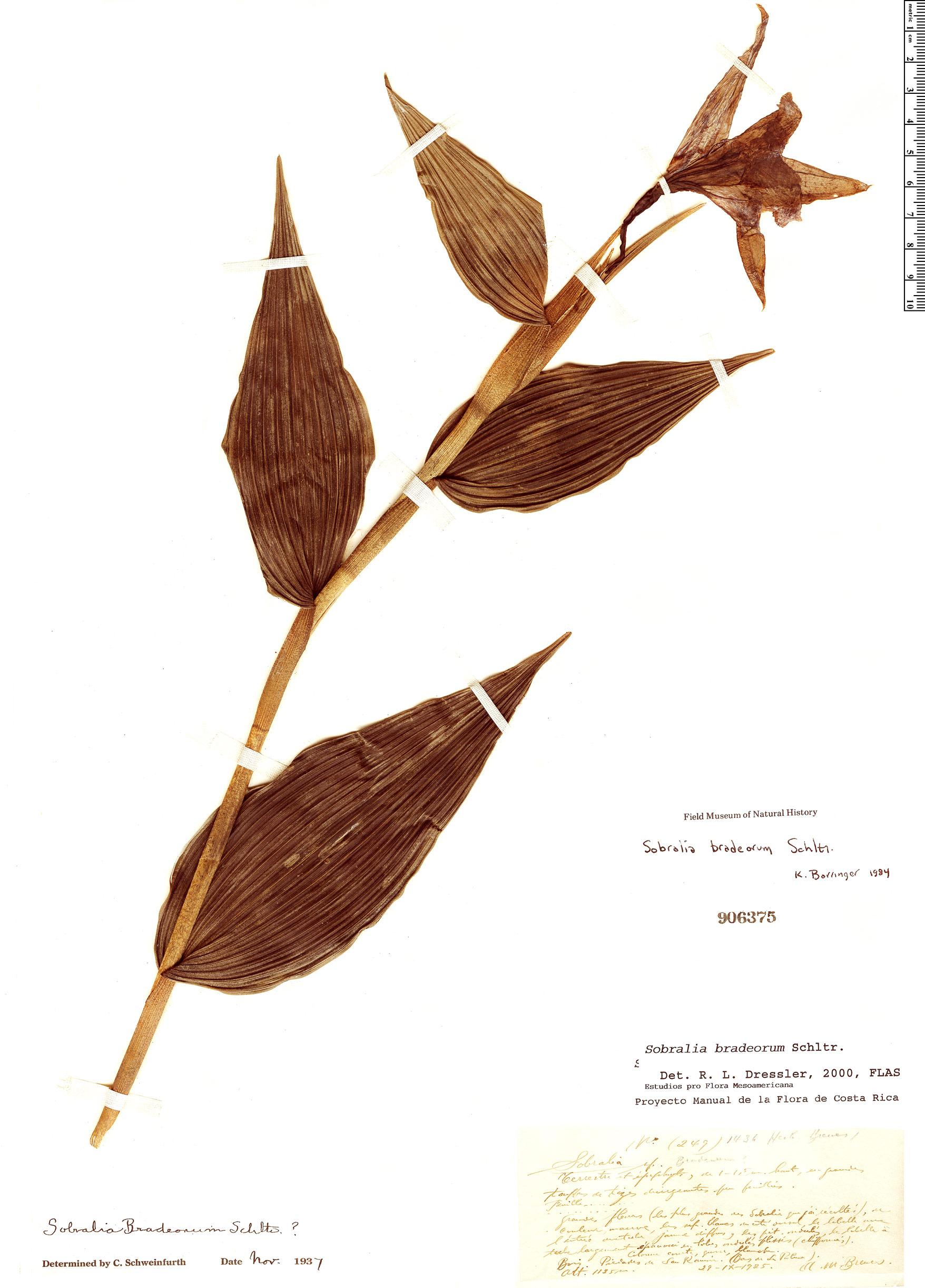 Specimen: Sobralia warszewiczii