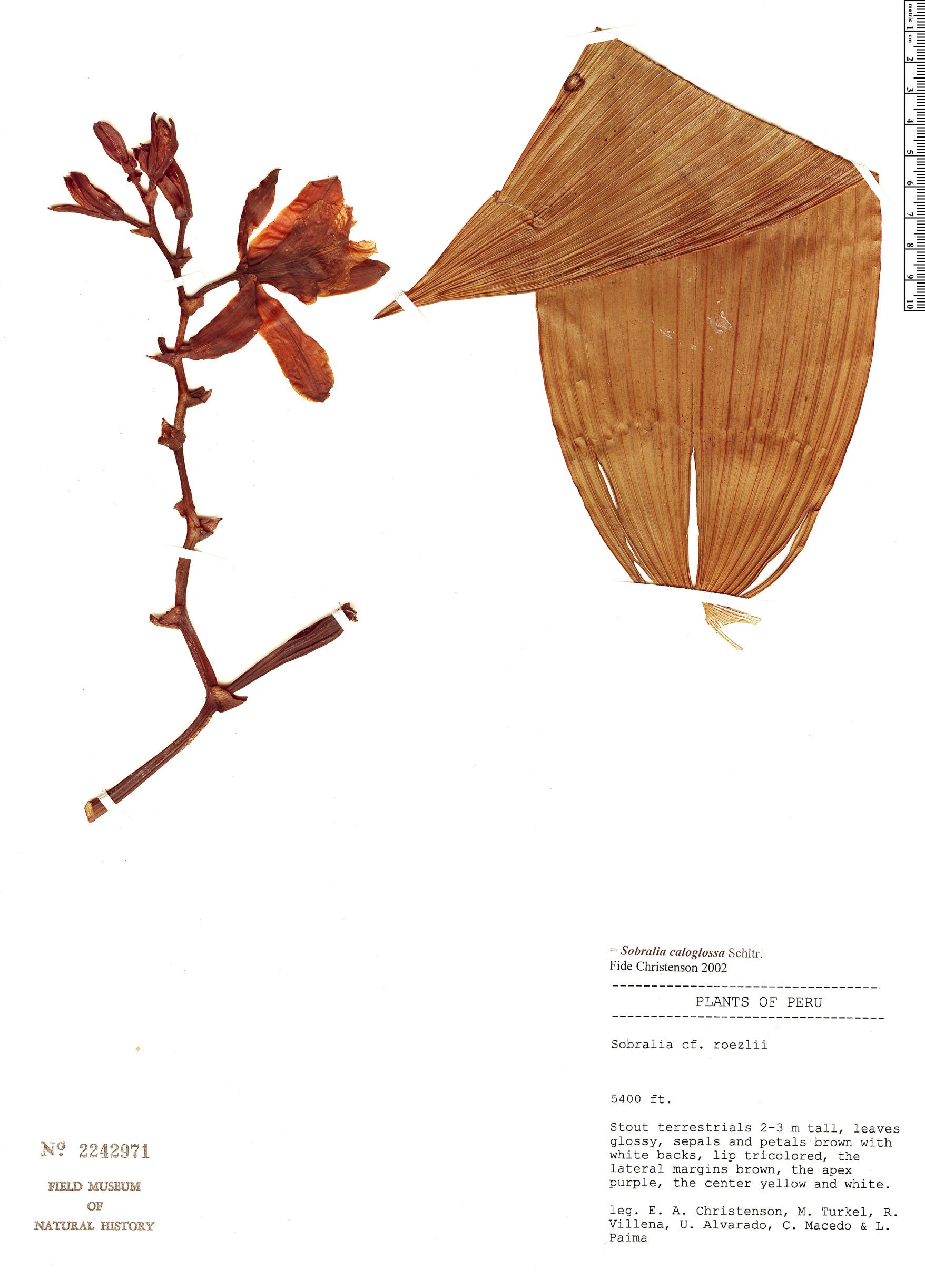 Specimen: Sobralia caloglossa