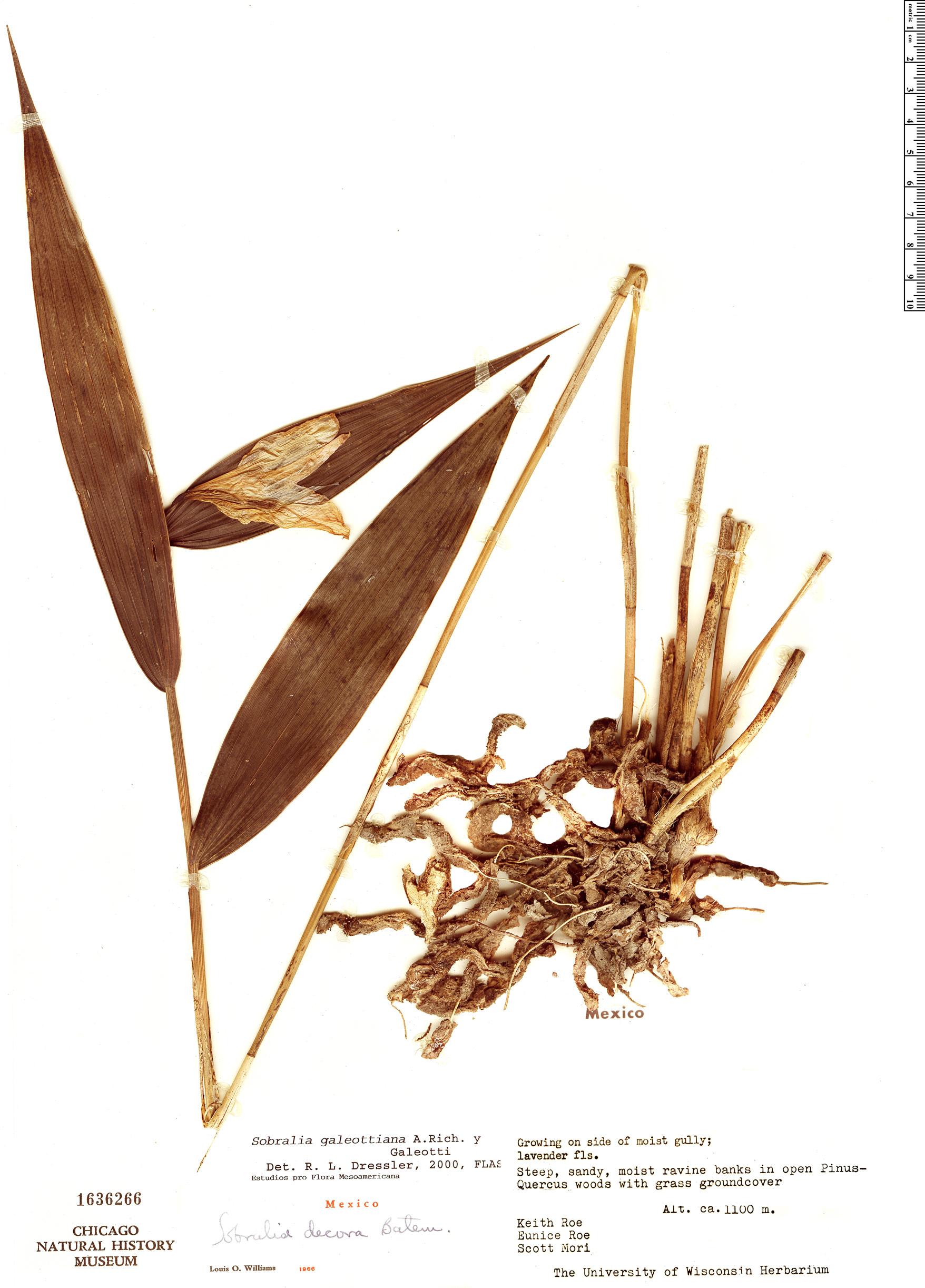 Specimen: Sobralia galeottiana
