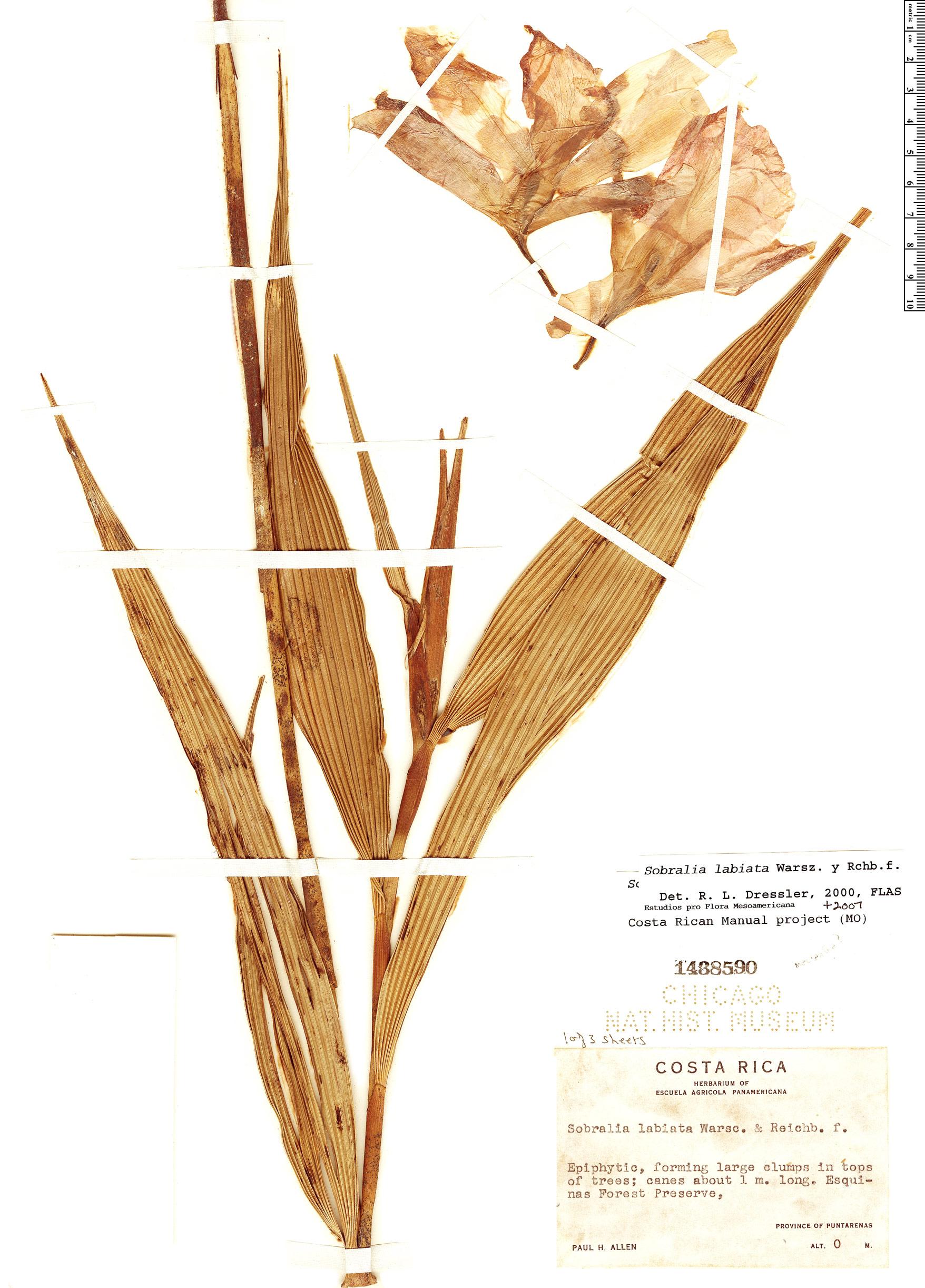Specimen: Sobralia labiata
