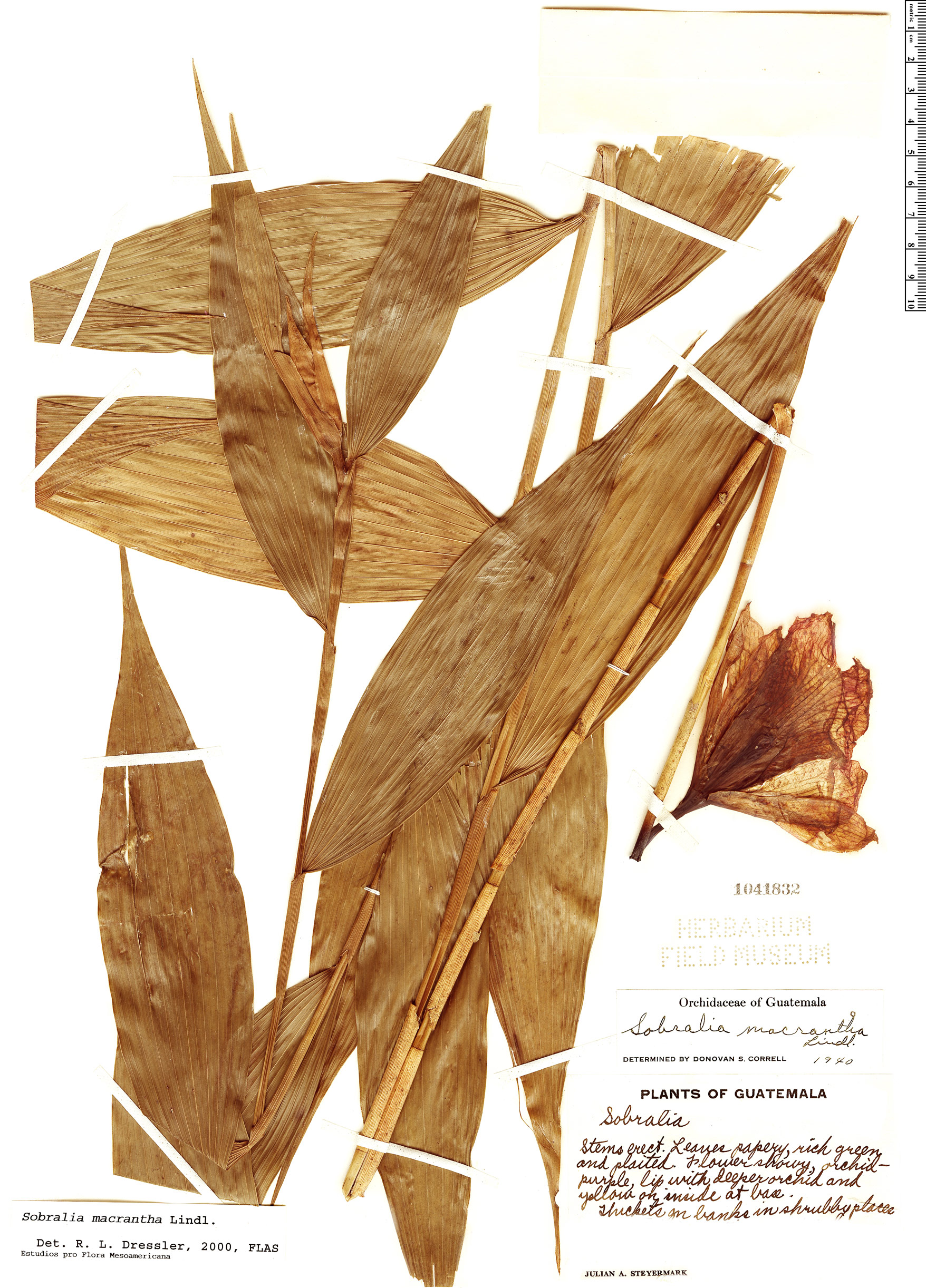 Specimen: Sobralia macrantha