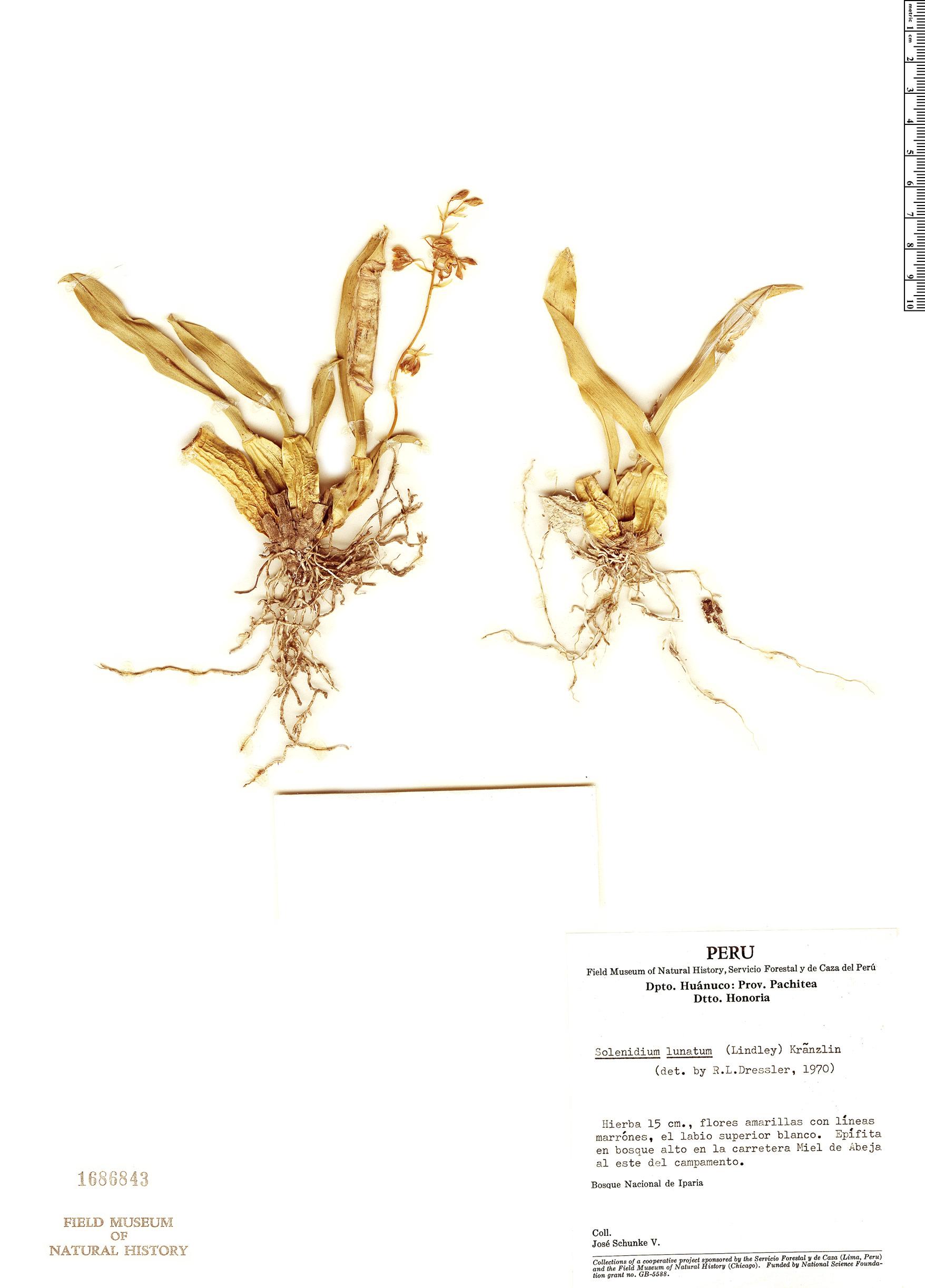 Specimen: Solenidium lunatum