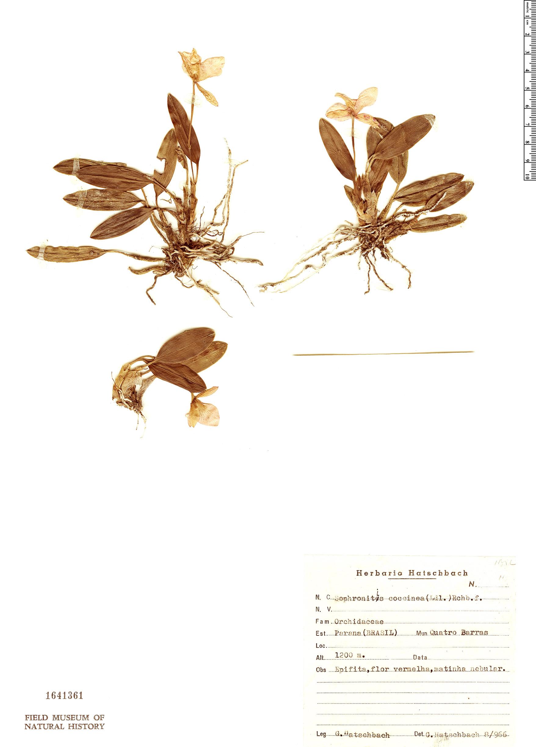 Specimen: Cattleya coccinea