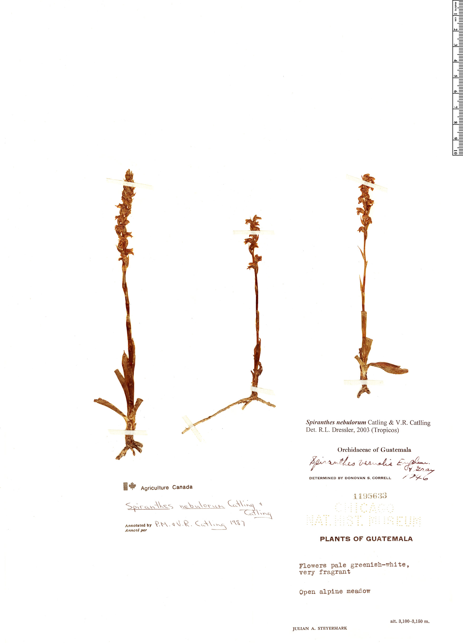 Specimen: Spiranthes nebulorum