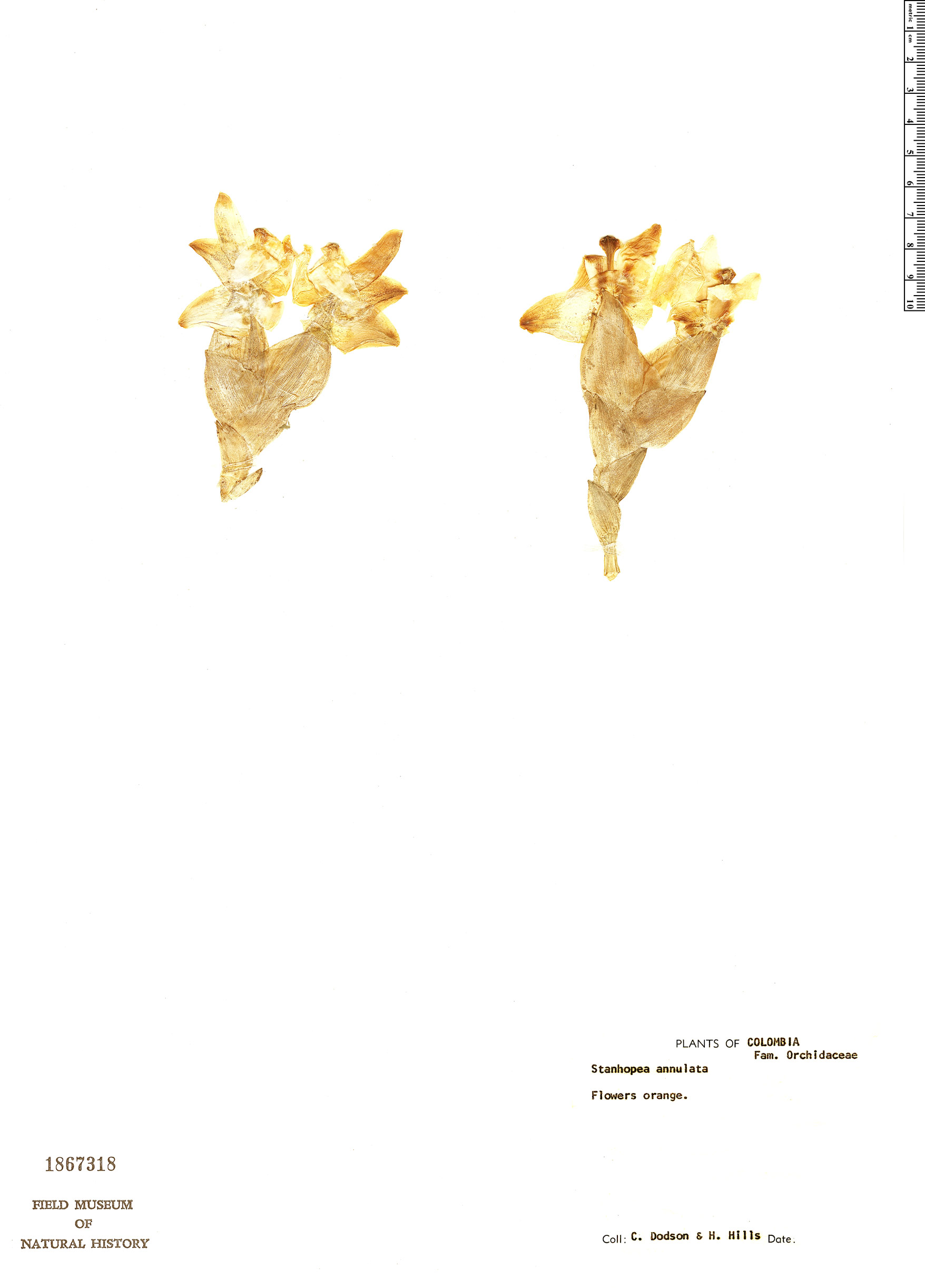 Specimen: Stanhopea annulata