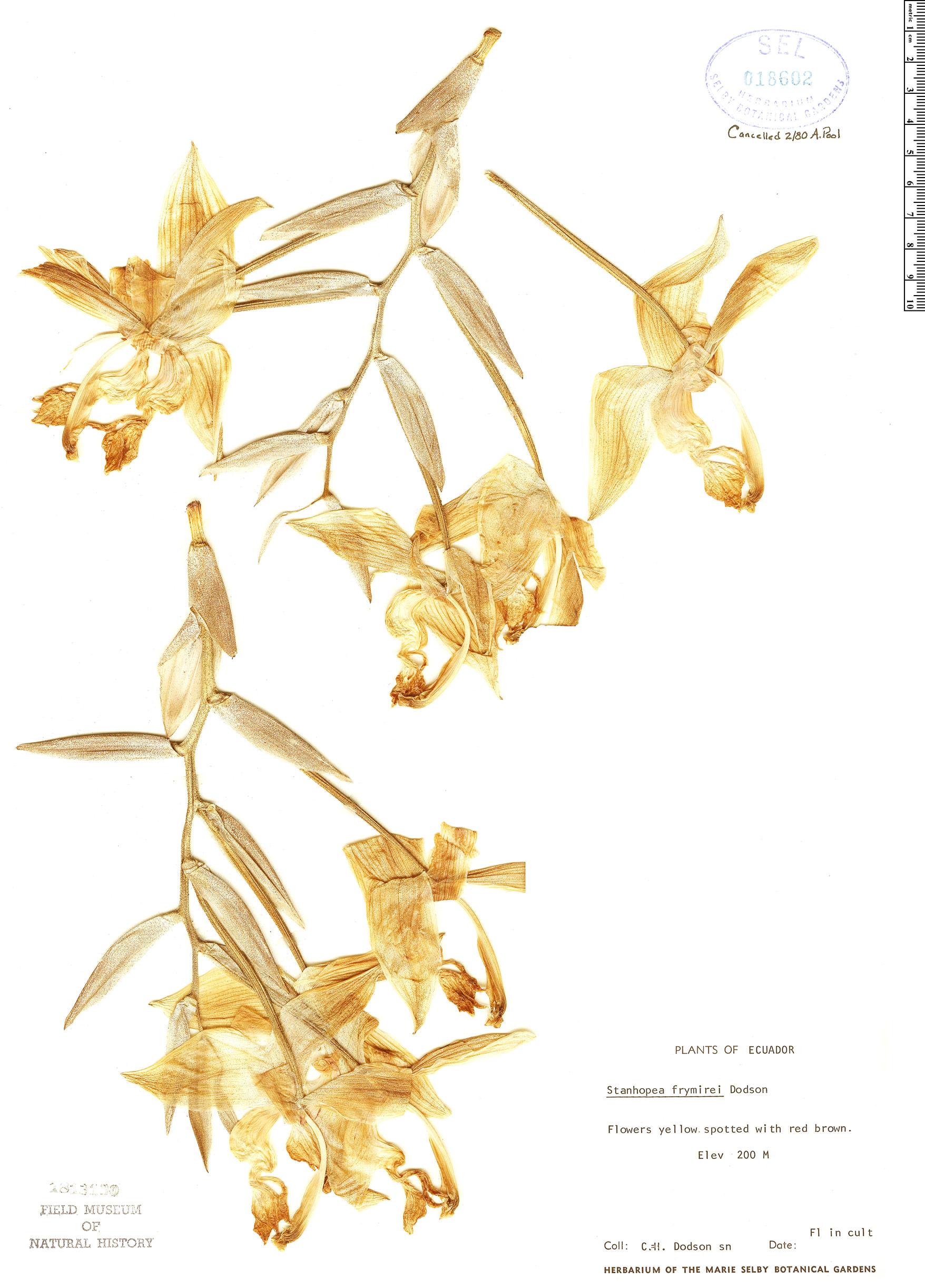 Specimen: Stanhopea frymirei