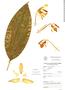 Stanhopea graveolens image