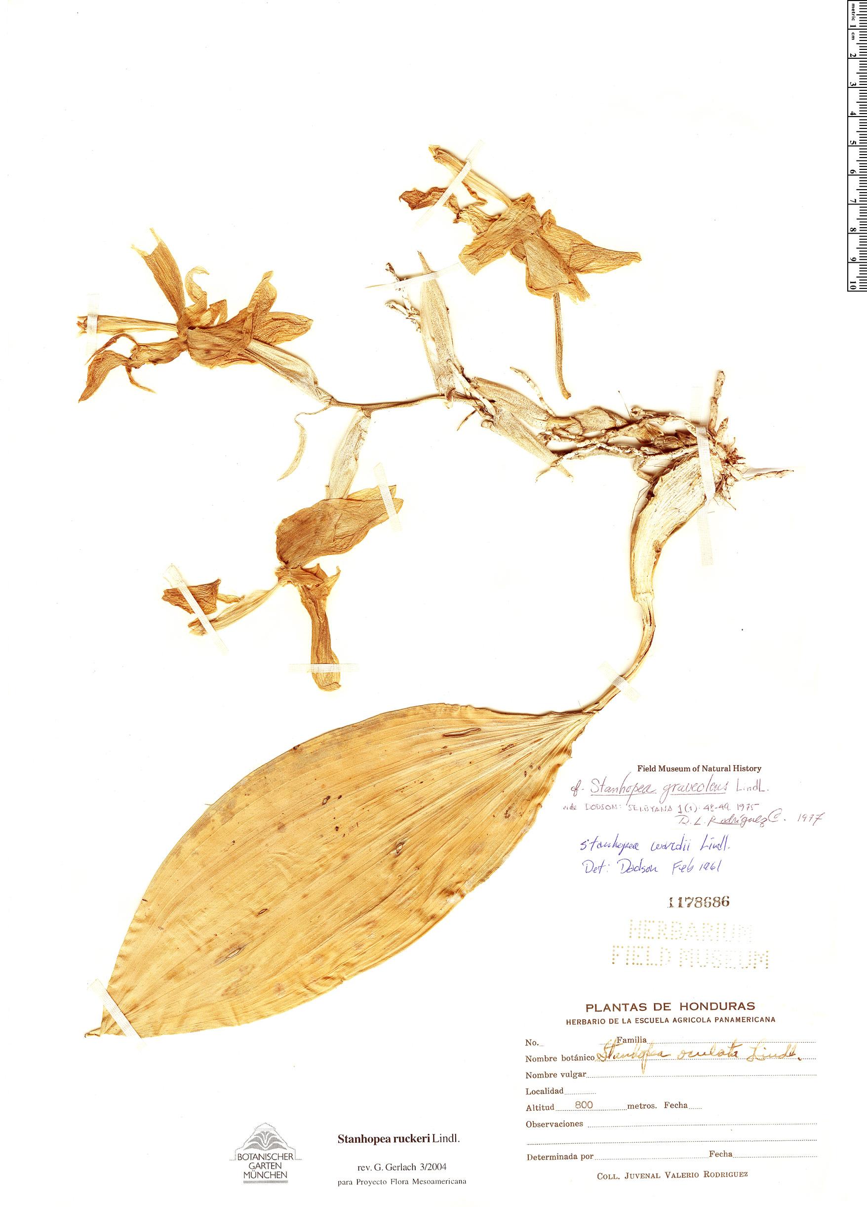Specimen: Stanhopea ruckeri