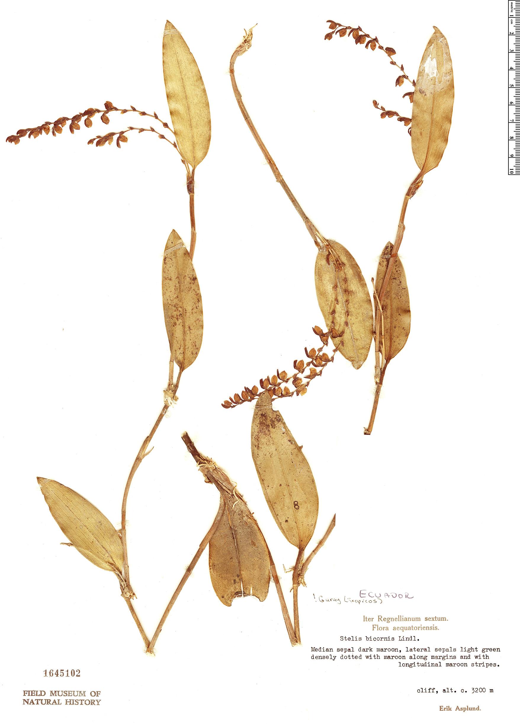 Specimen: Stelis bicornis