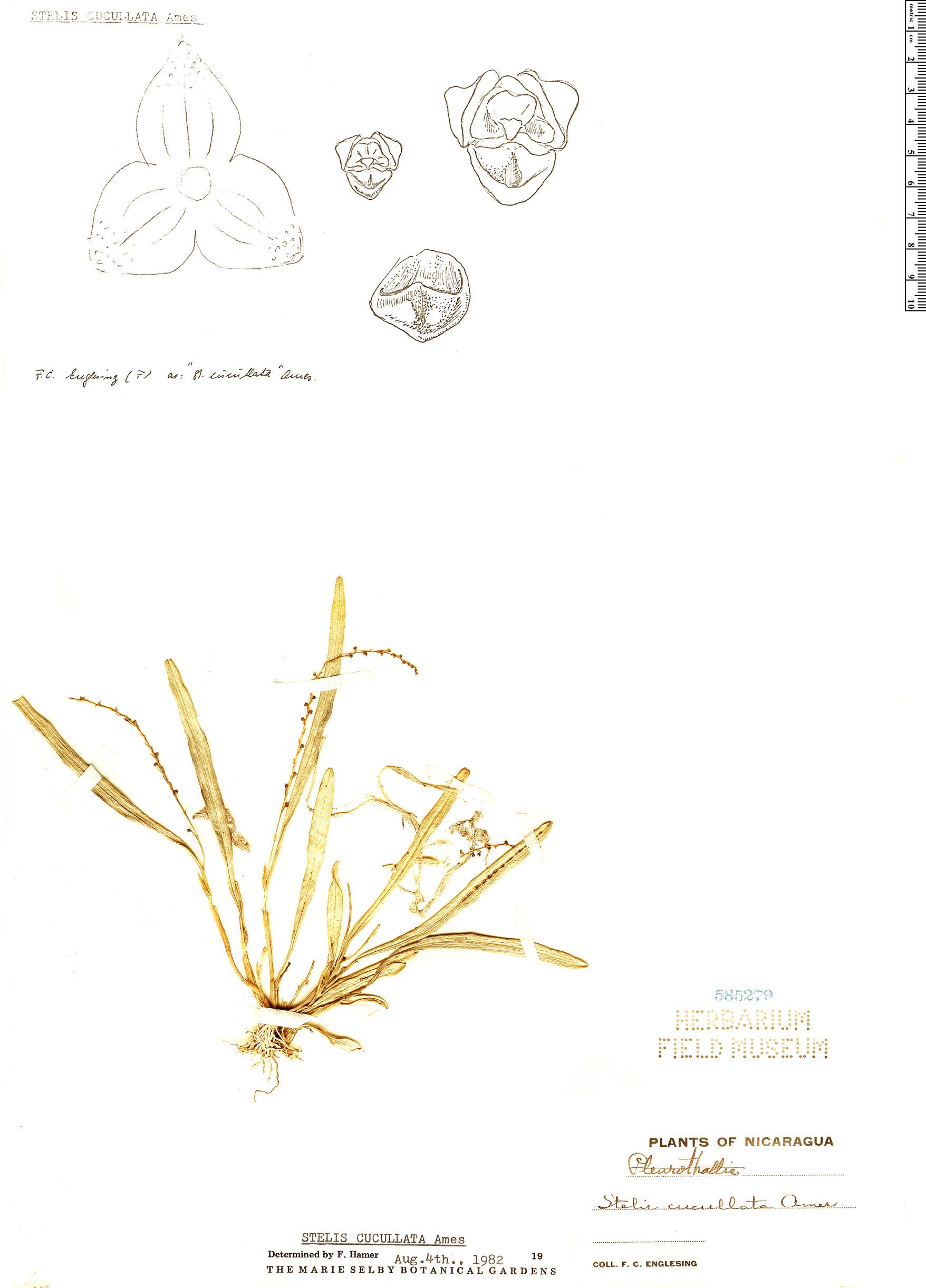 Specimen: Stelis cucullata