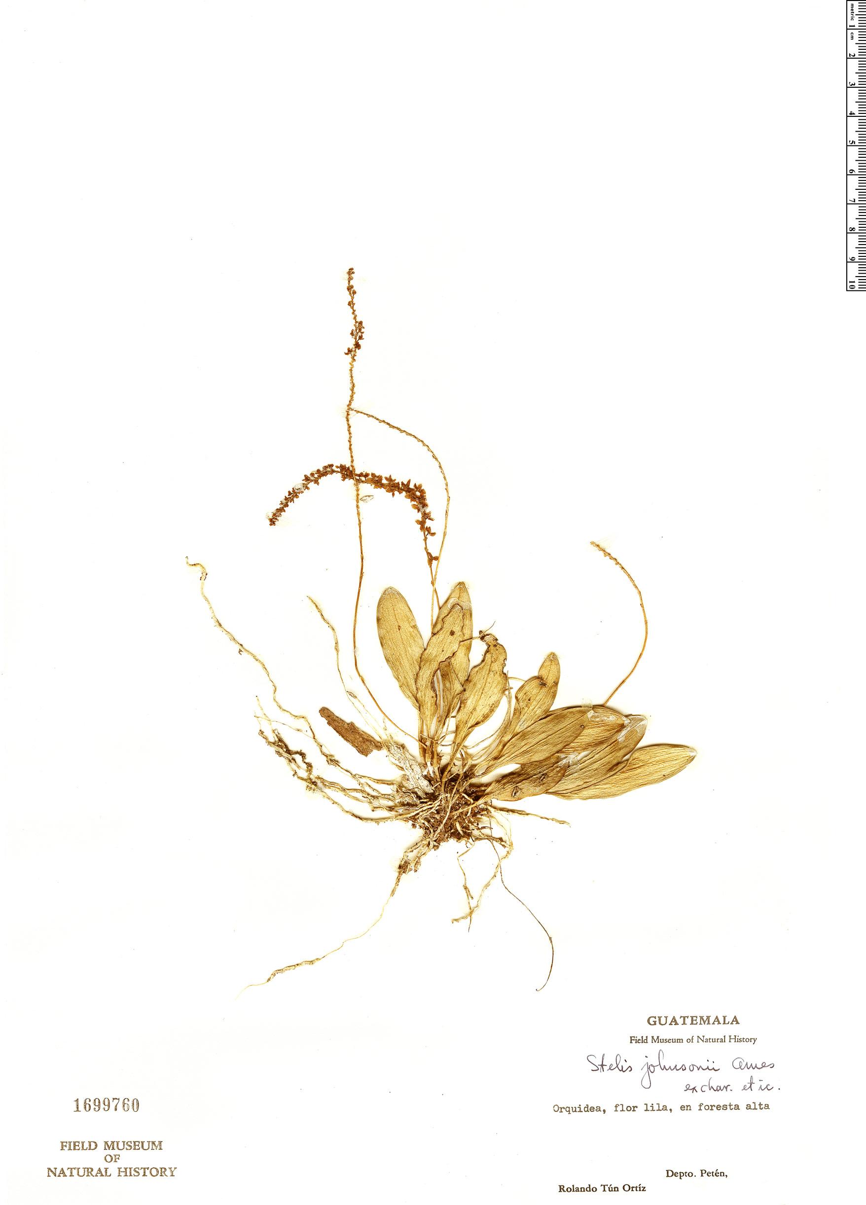 Specimen: Stelis johnsonii