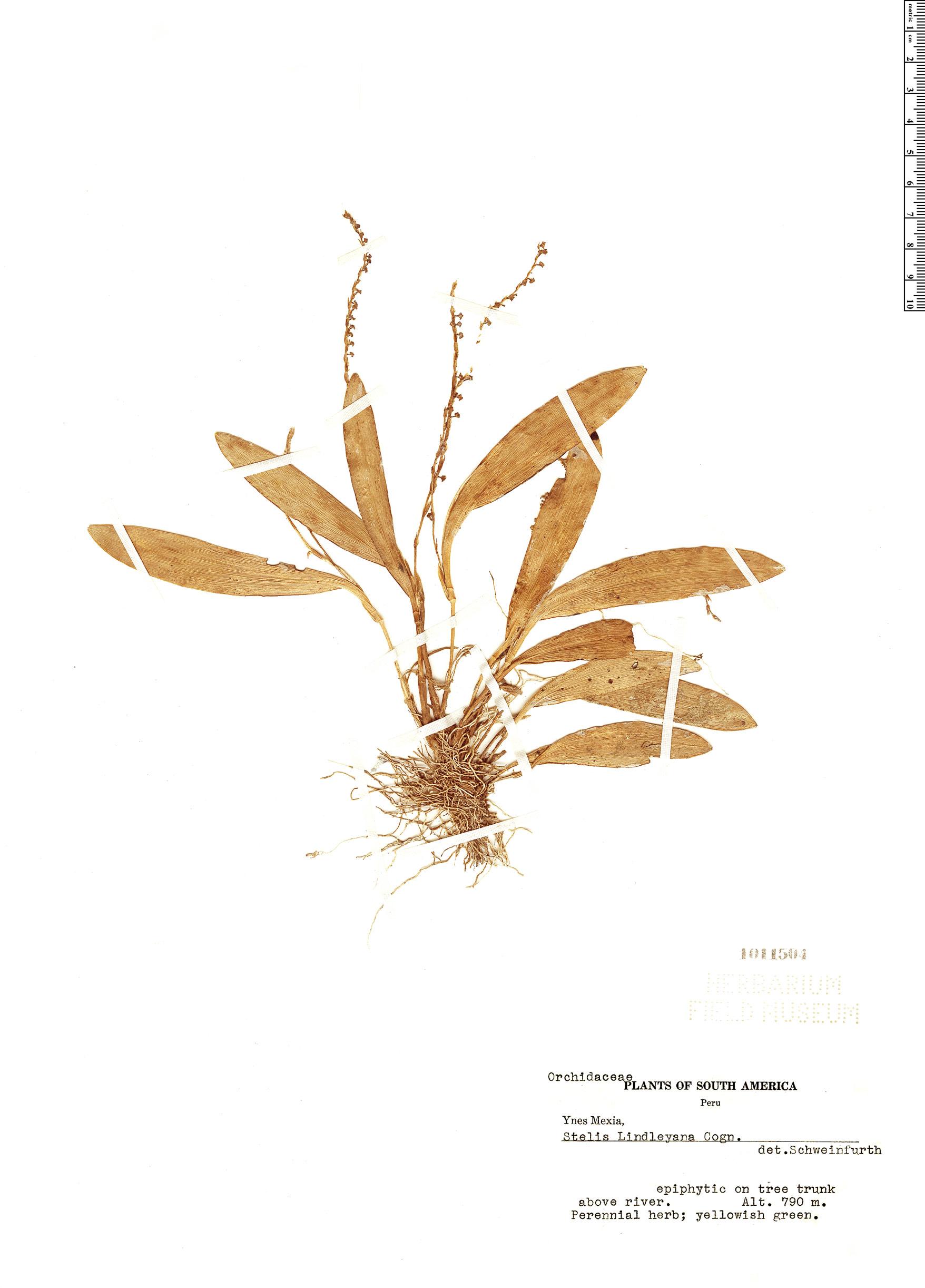 Specimen: Stelis lindleyana