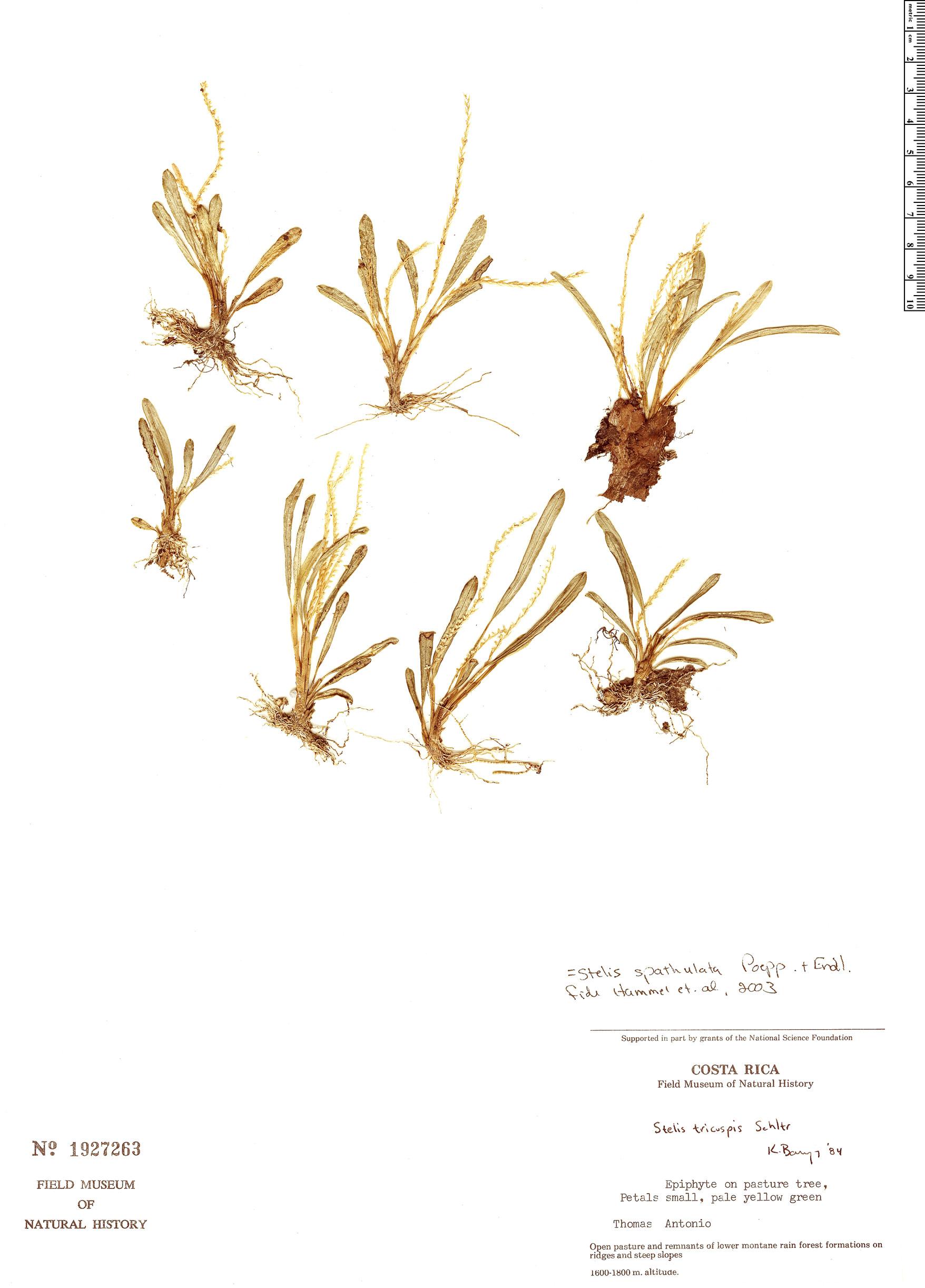 Specimen: Stelis spathulata