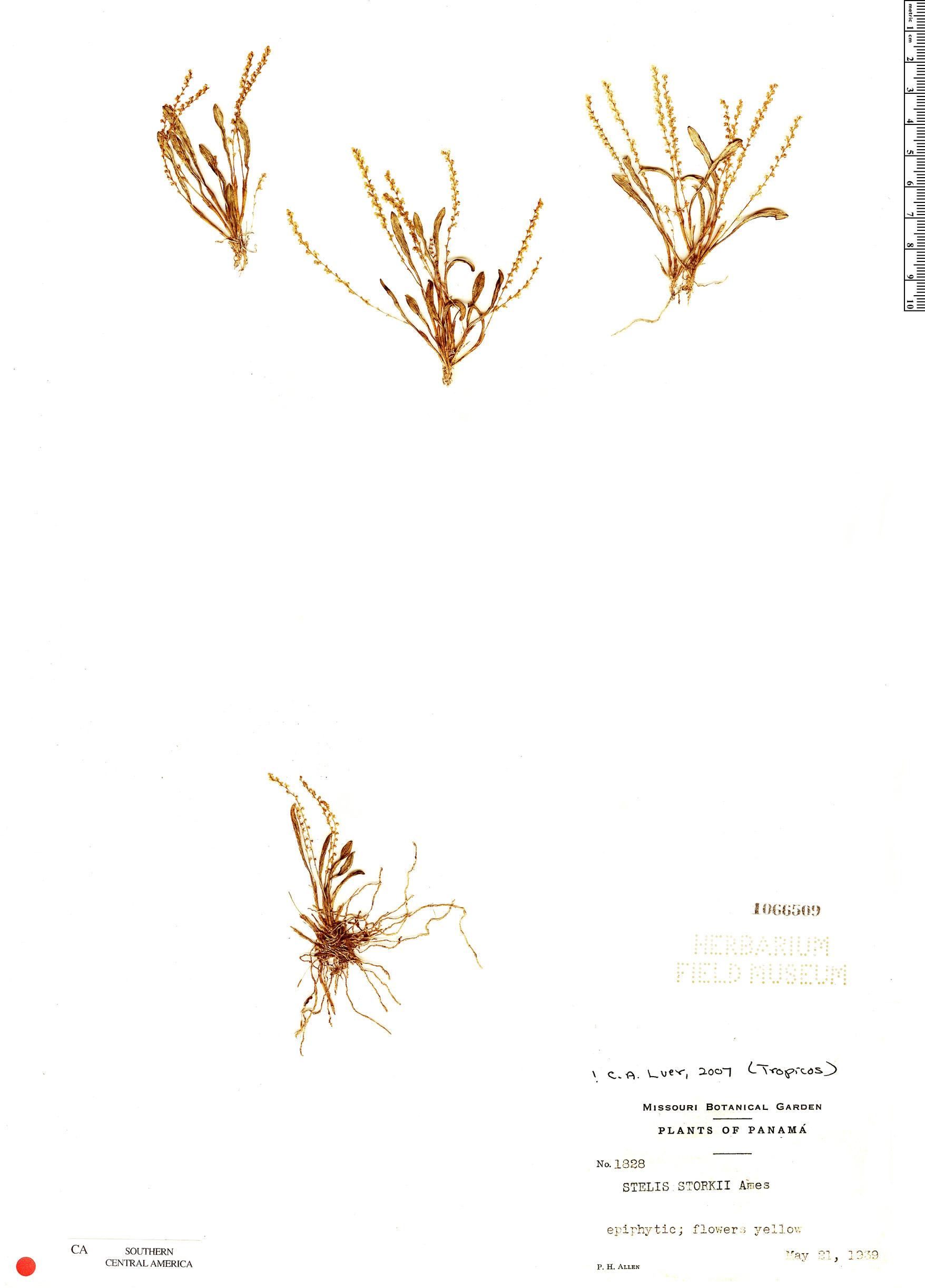 Specimen: Stelis storkii