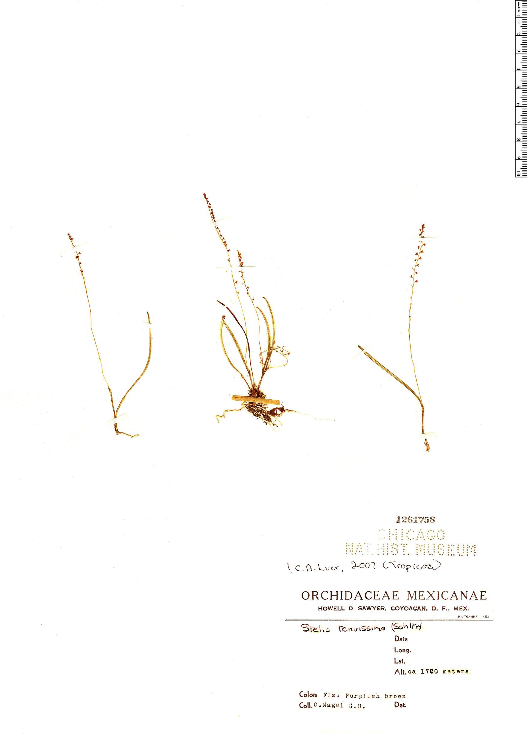 Specimen: Stelis tenuissima