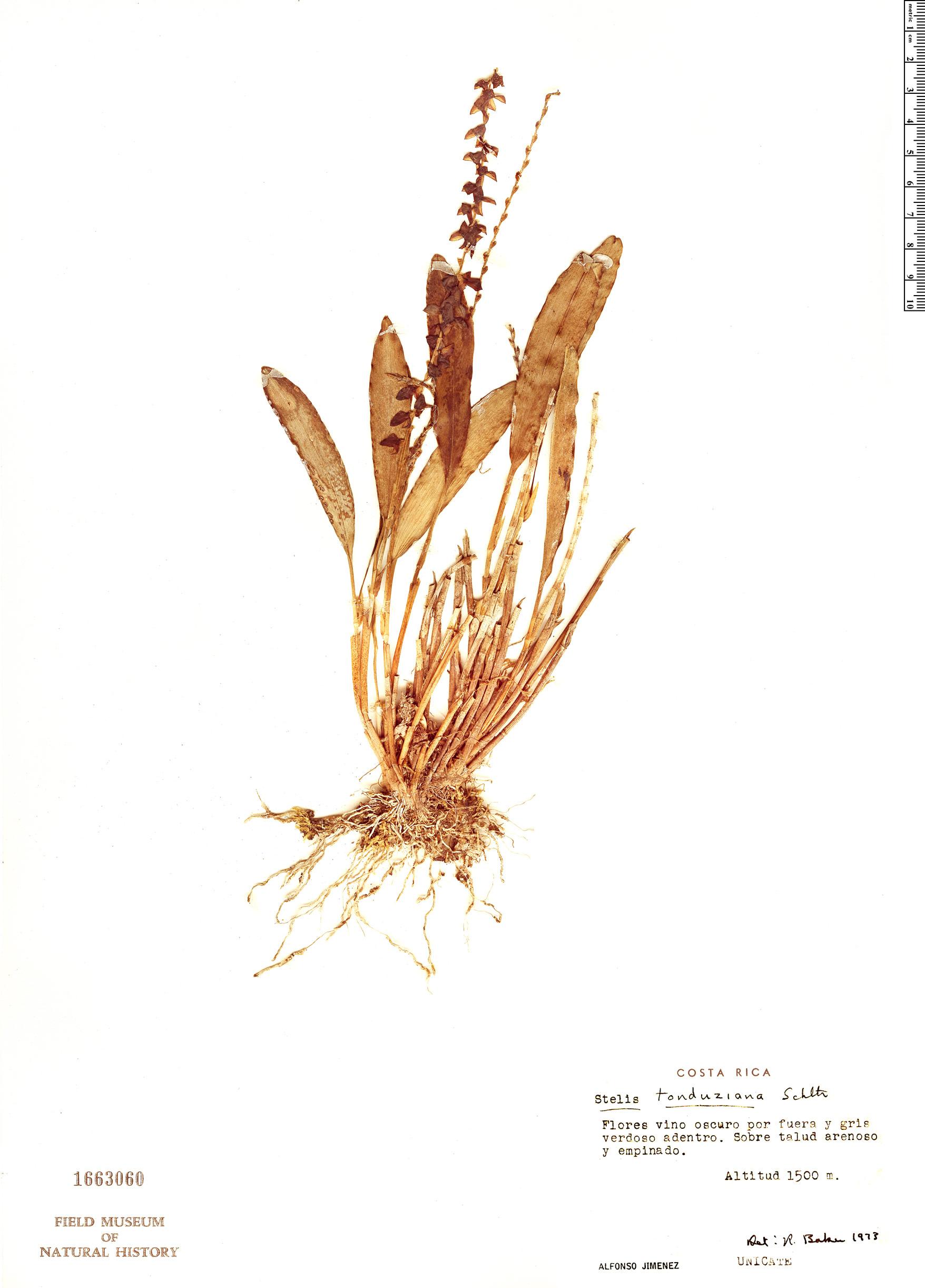 Espécimen: Stelis tonduziana