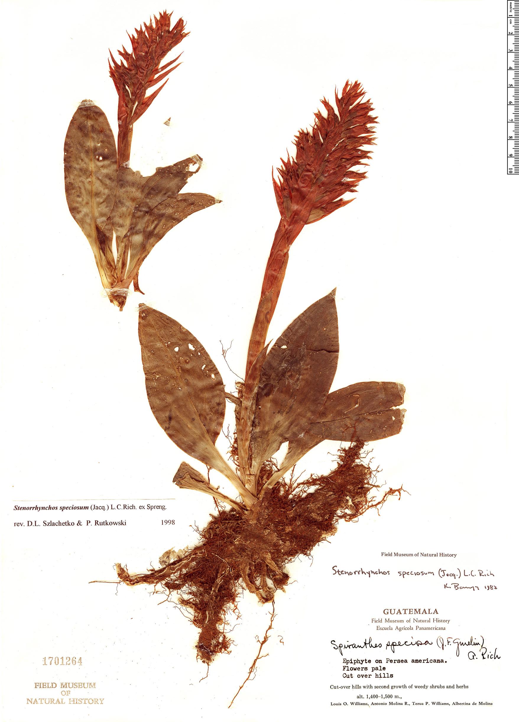 Specimen: Stenorrhynchos speciosum