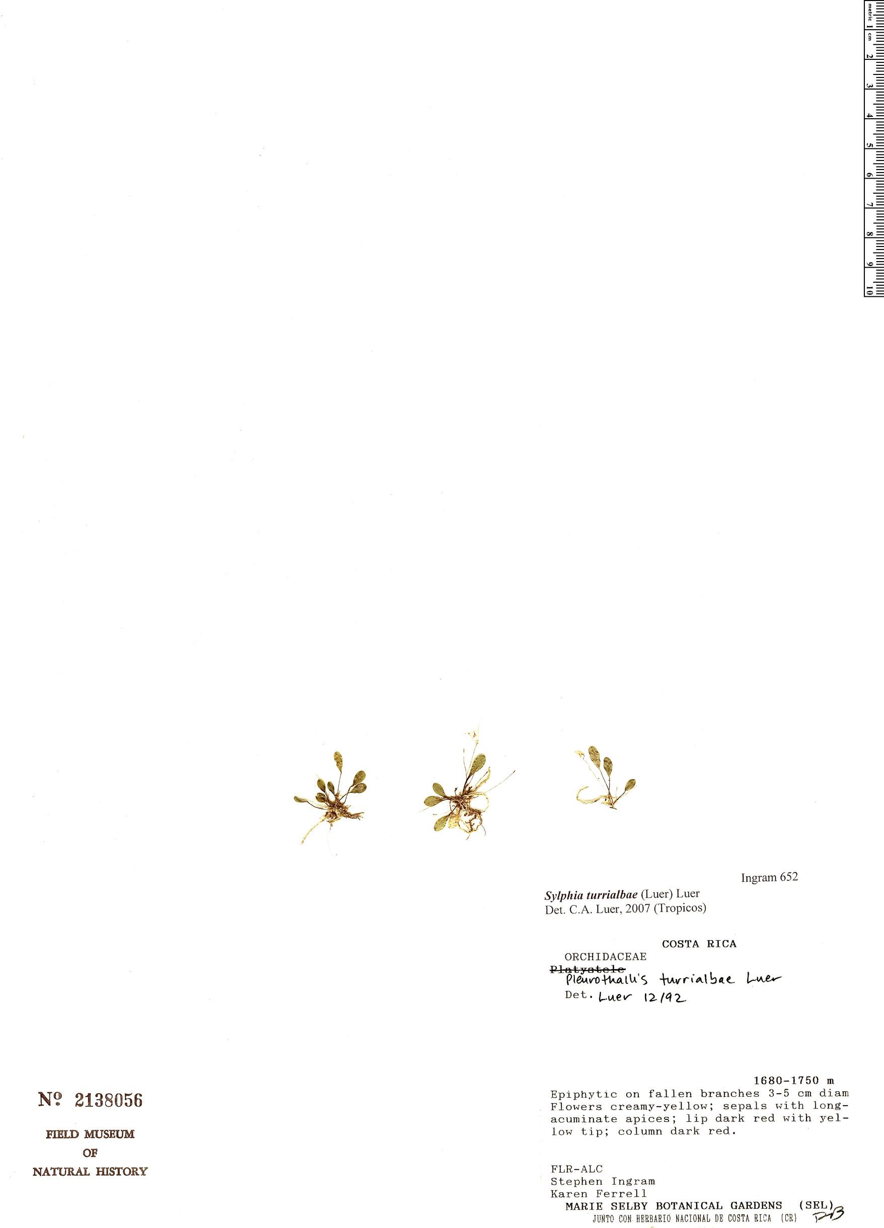 Specimen: Pleurothallis turrialbae