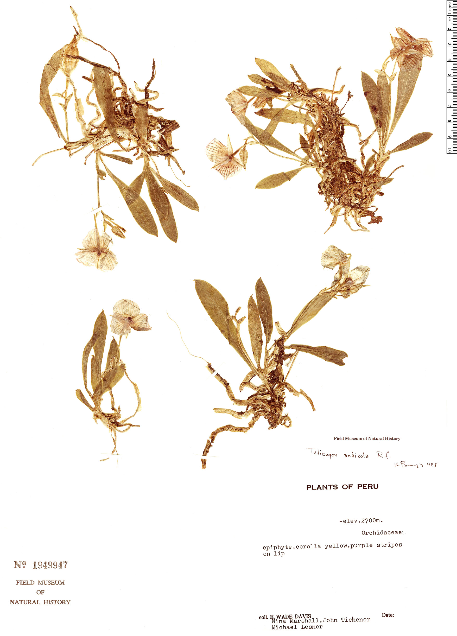 Specimen: Telipogon andicola