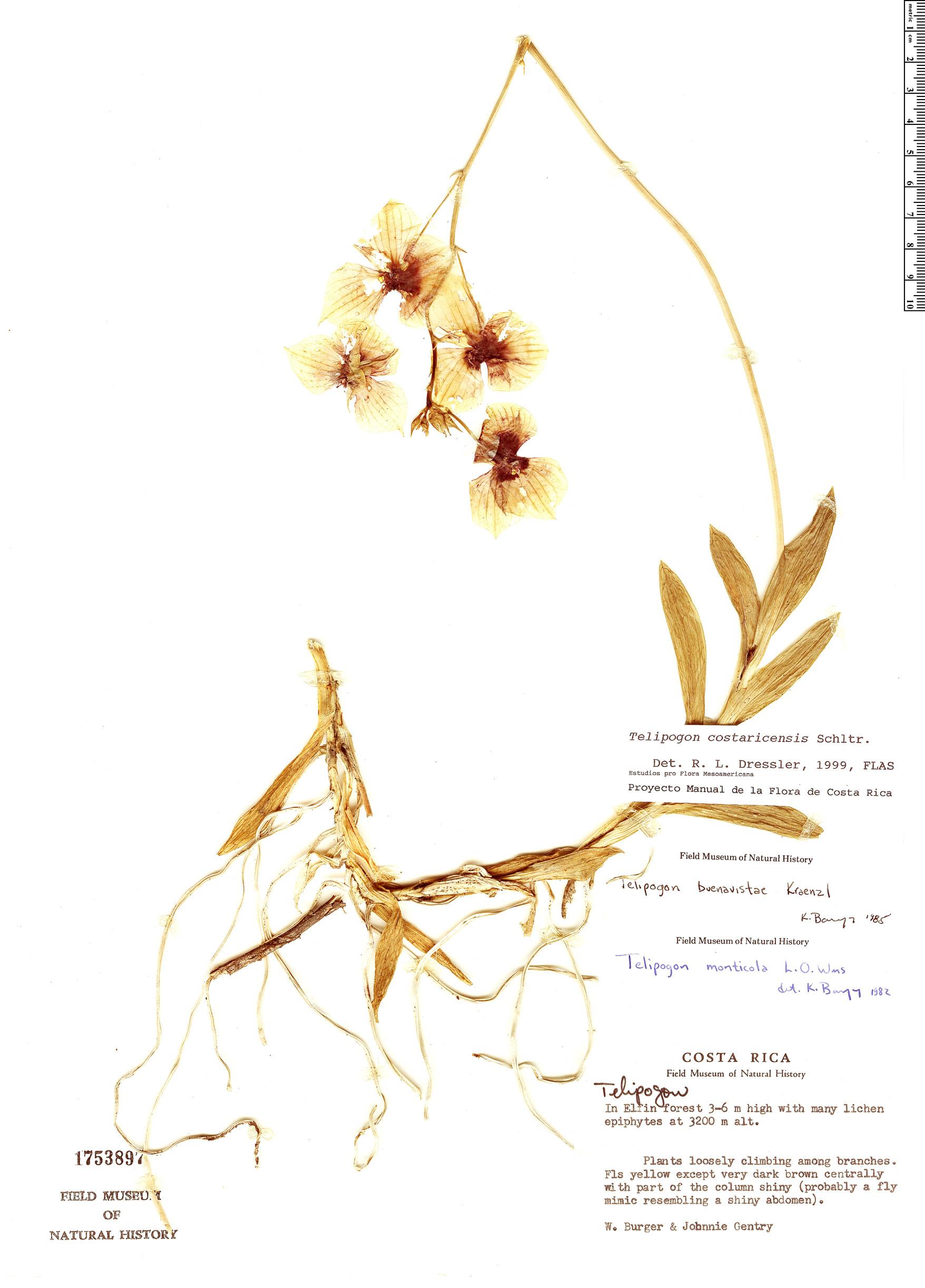 Specimen: Telipogon costaricensis