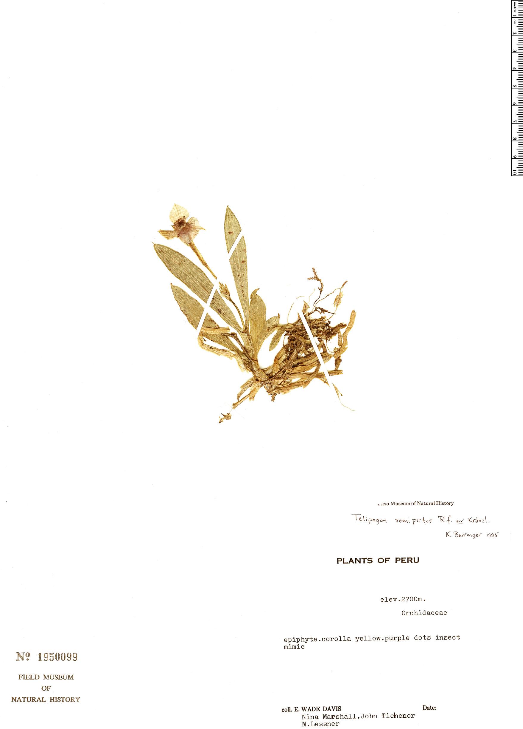 Specimen: Telipogon semipictus