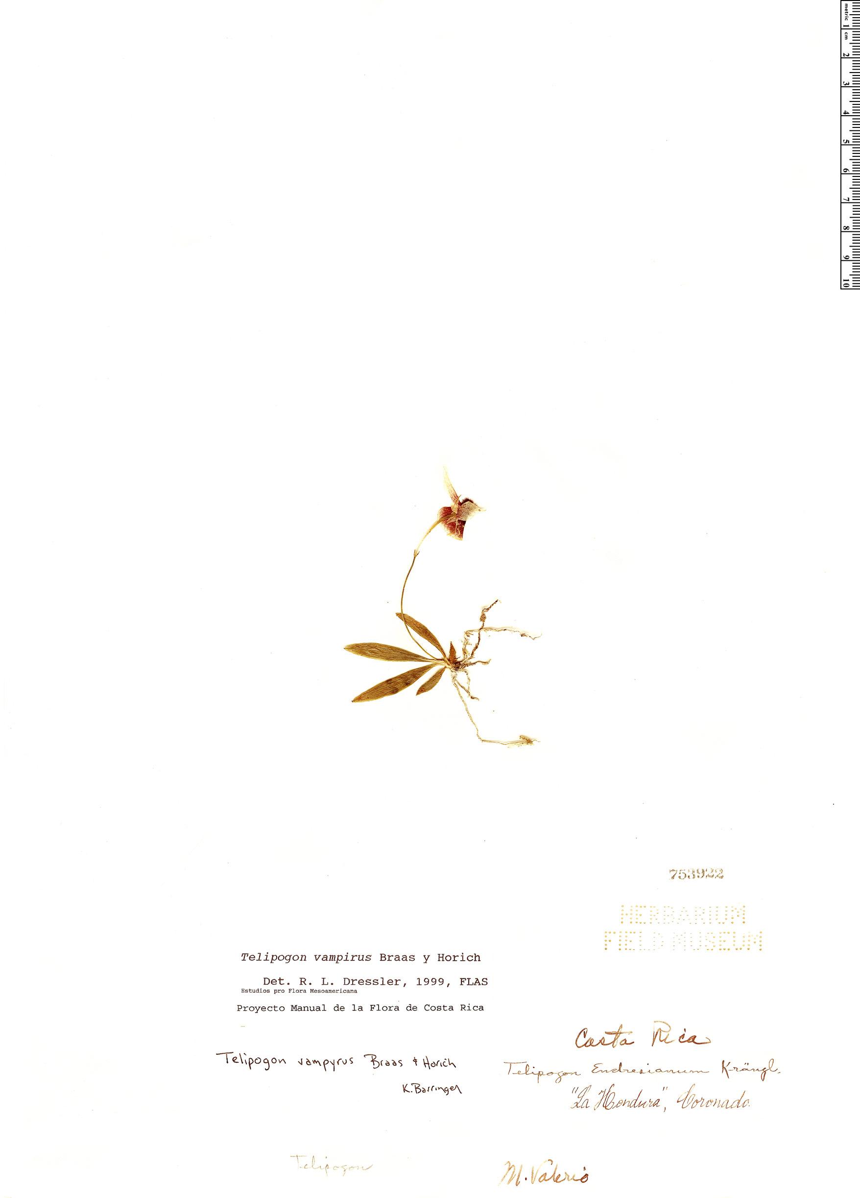 Specimen: Telipogon vampyrus