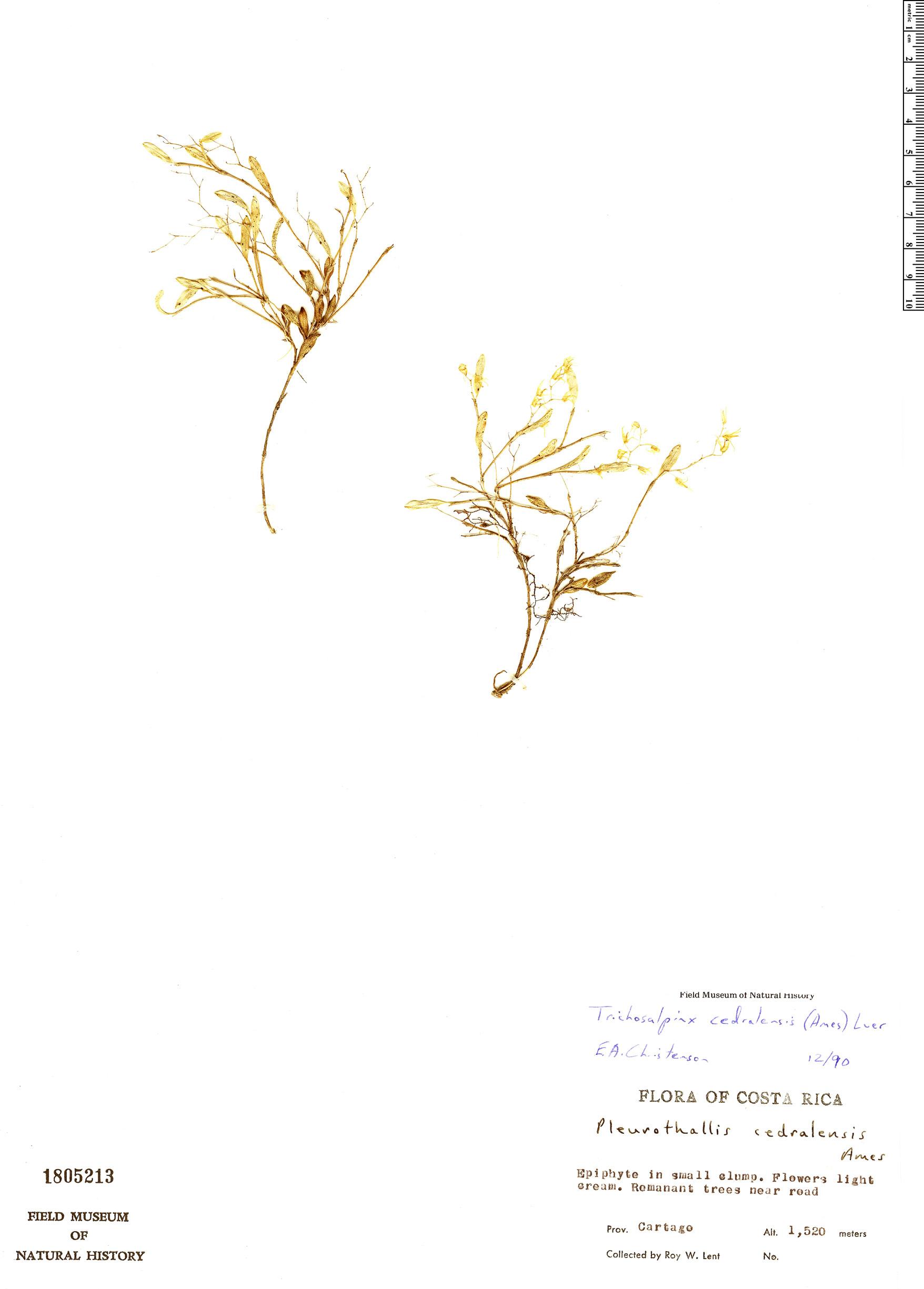 Specimen: Trichosalpinx cedralensis