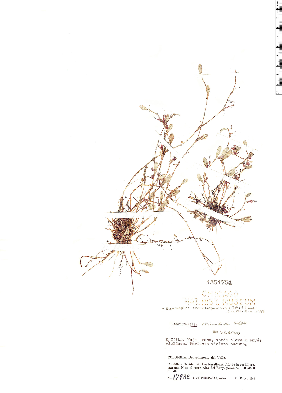 Specimen: Trichosalpinx chamaelepanthes