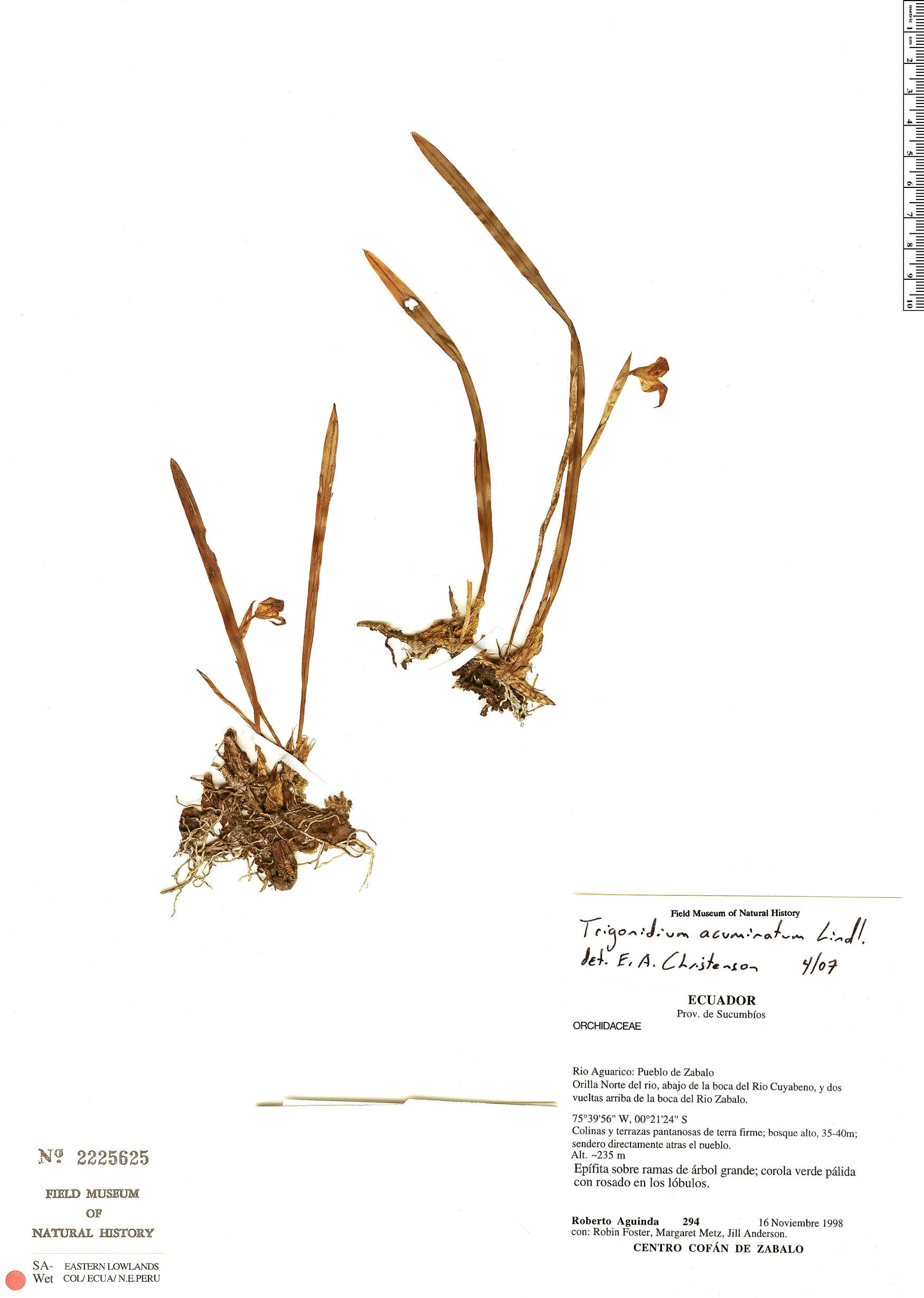 Specimen: Trigonidium acuminatum