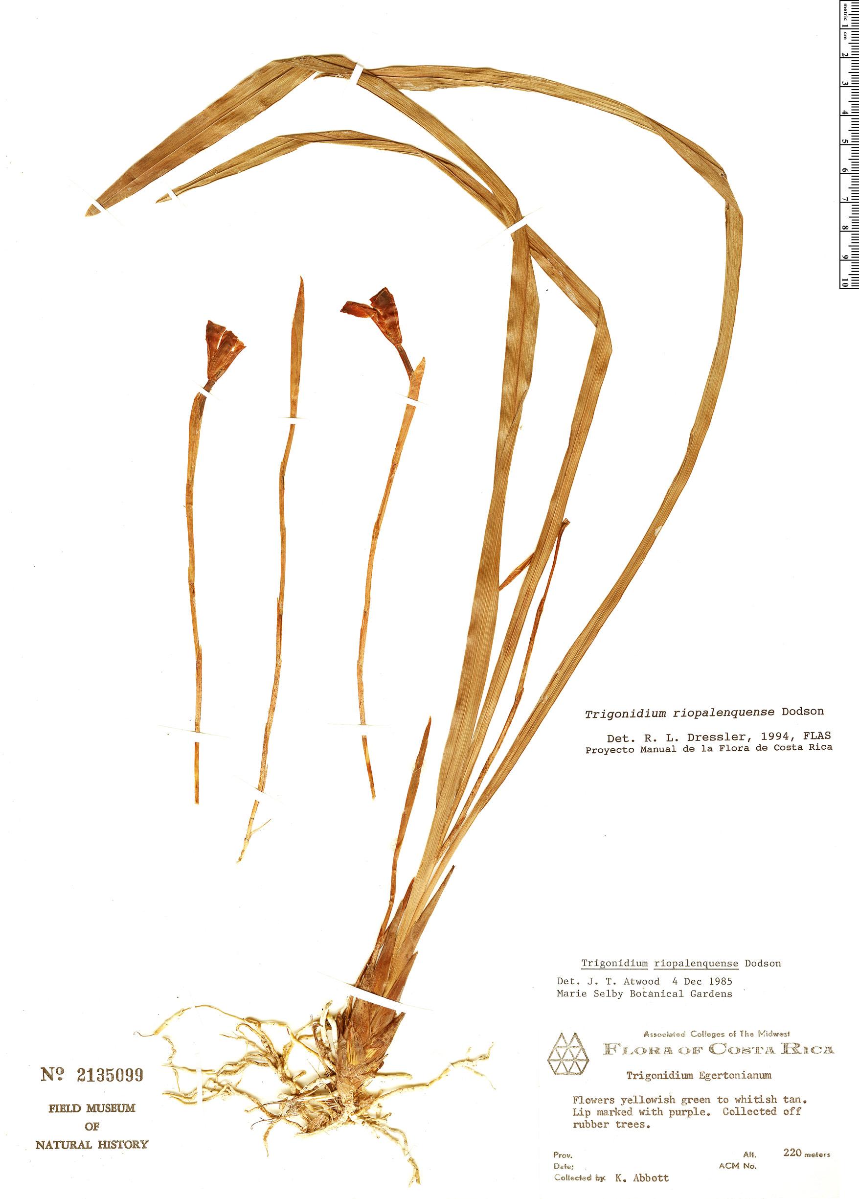 Espécimen: Trigonidium riopalenquense