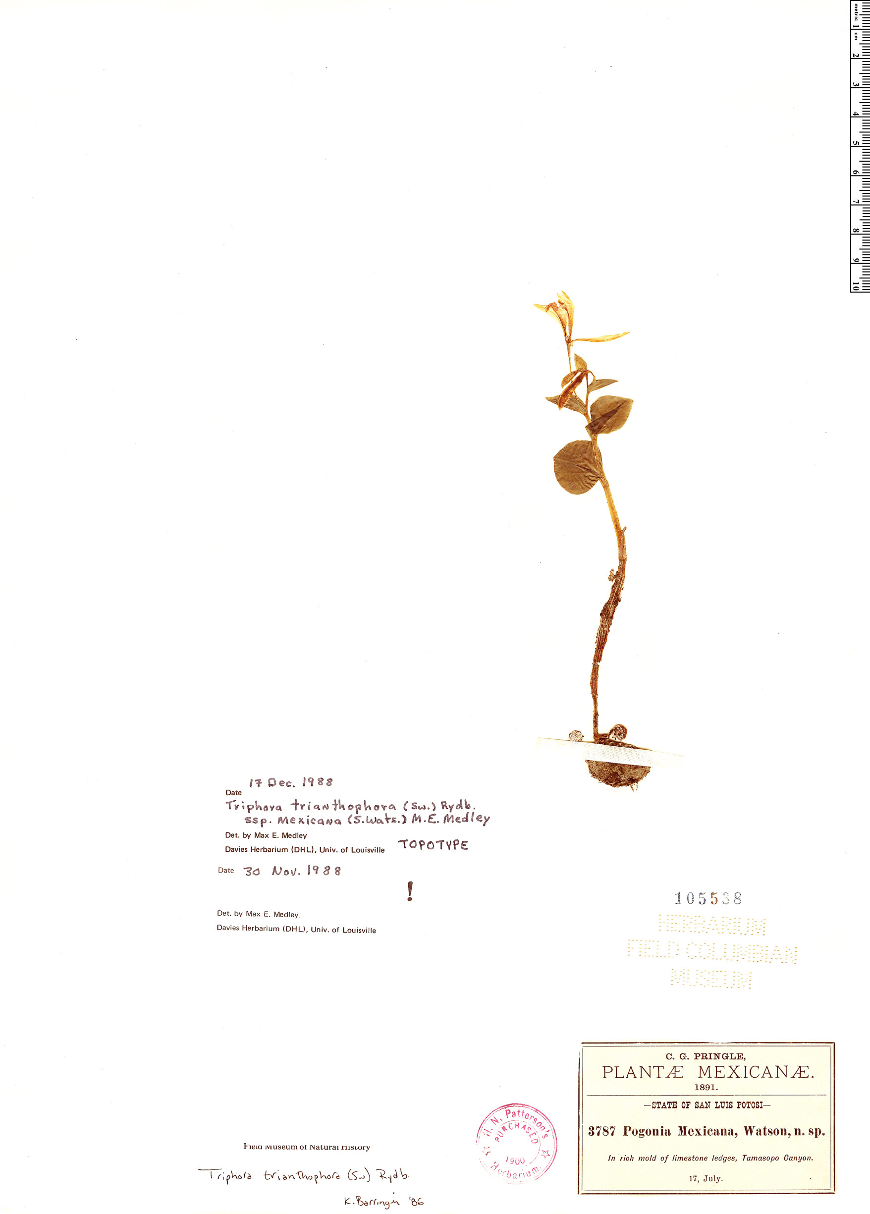 Specimen: Triphora trianthophoros