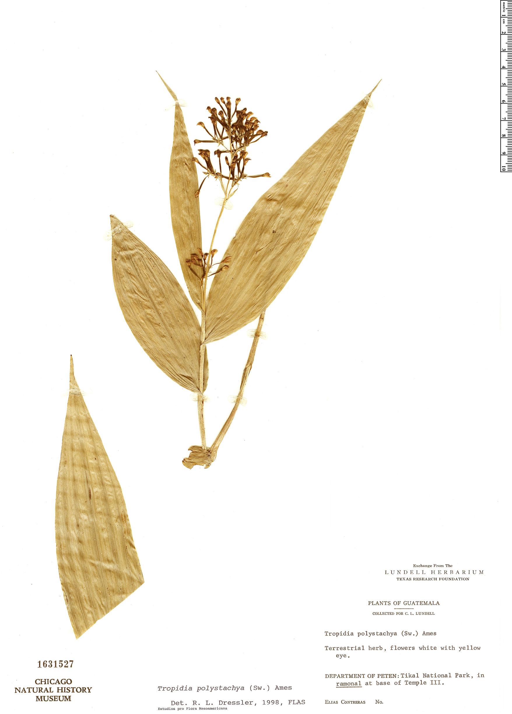 Specimen: Tropidia polystachya