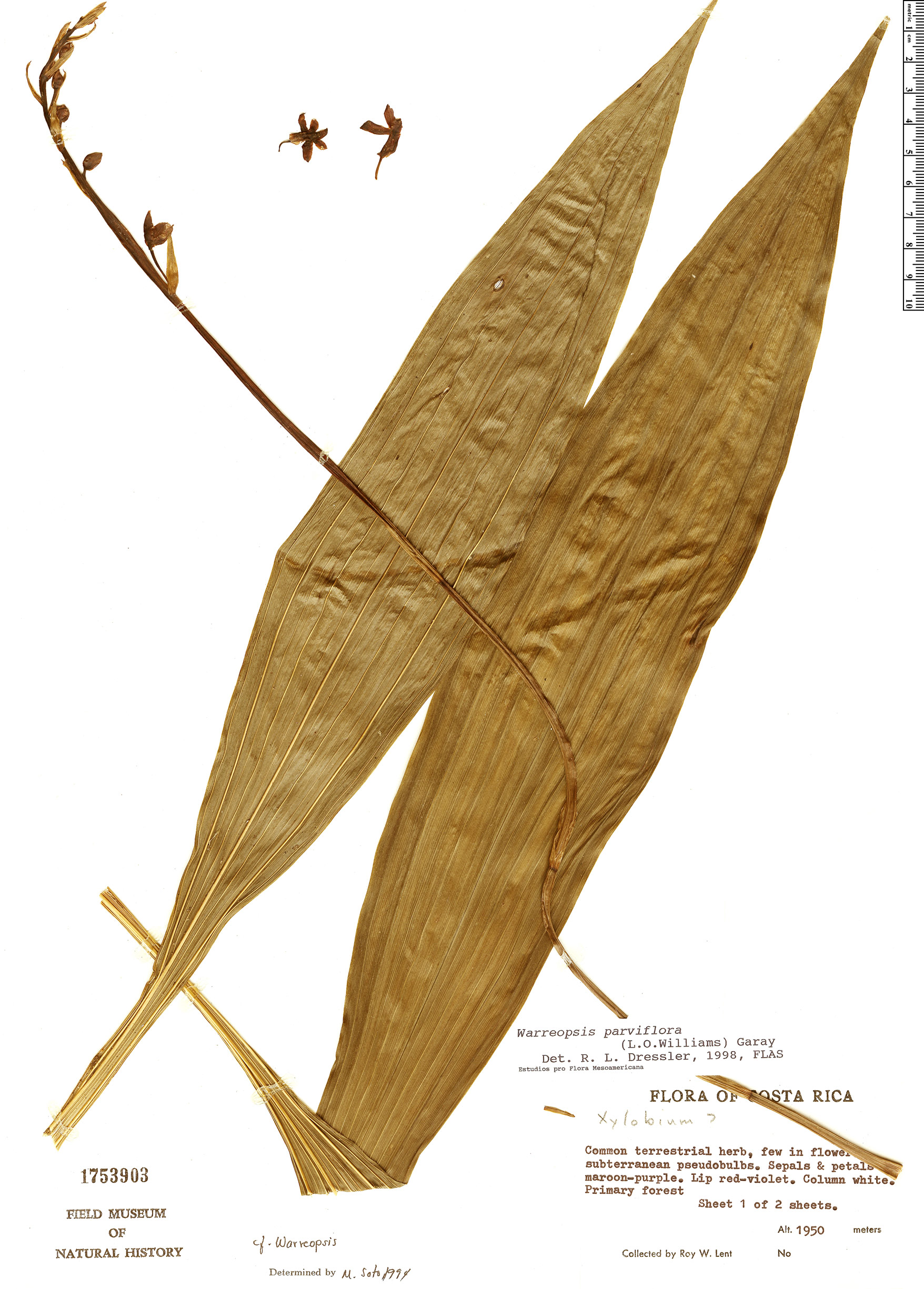 Specimen: Warreopsis parviflora