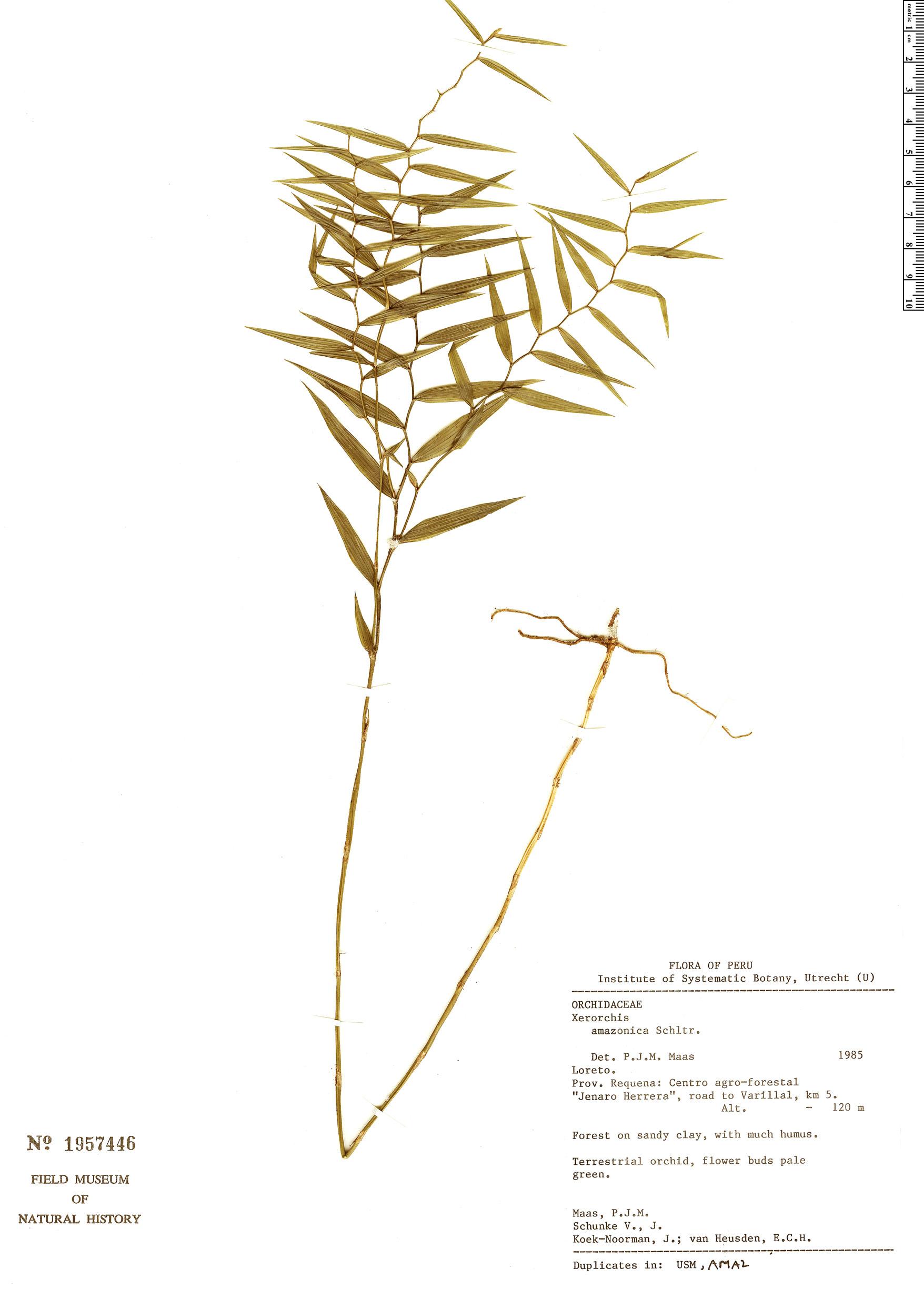 Specimen: Xerorchis amazonica