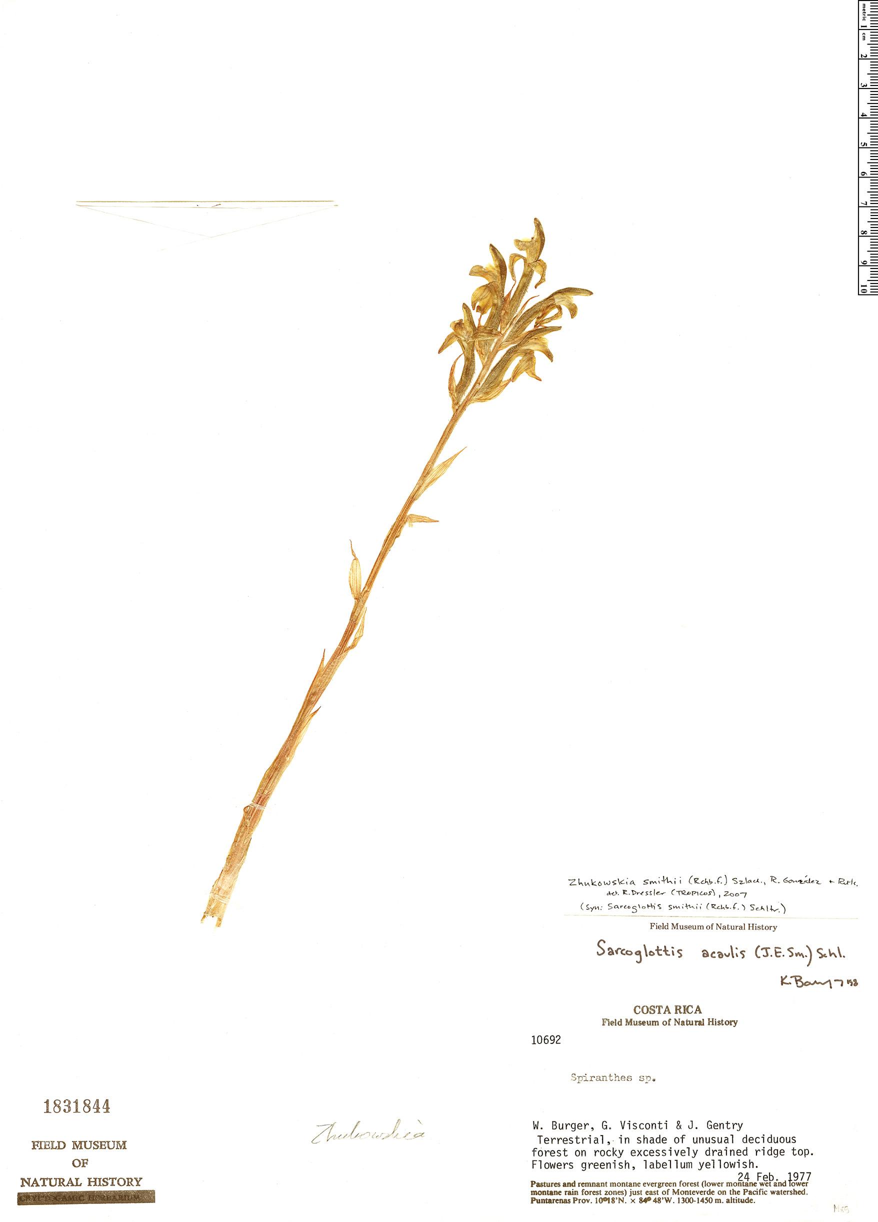 Specimen: Zhukowskia smithii