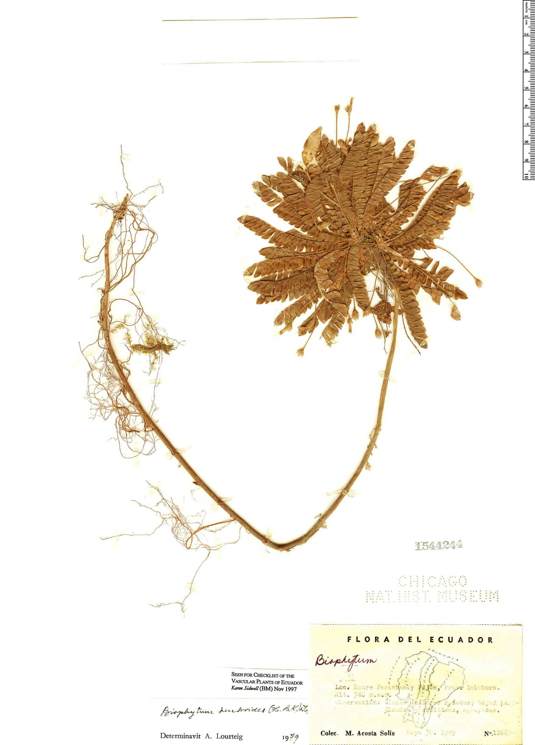 Specimen: Biophytum dendroides