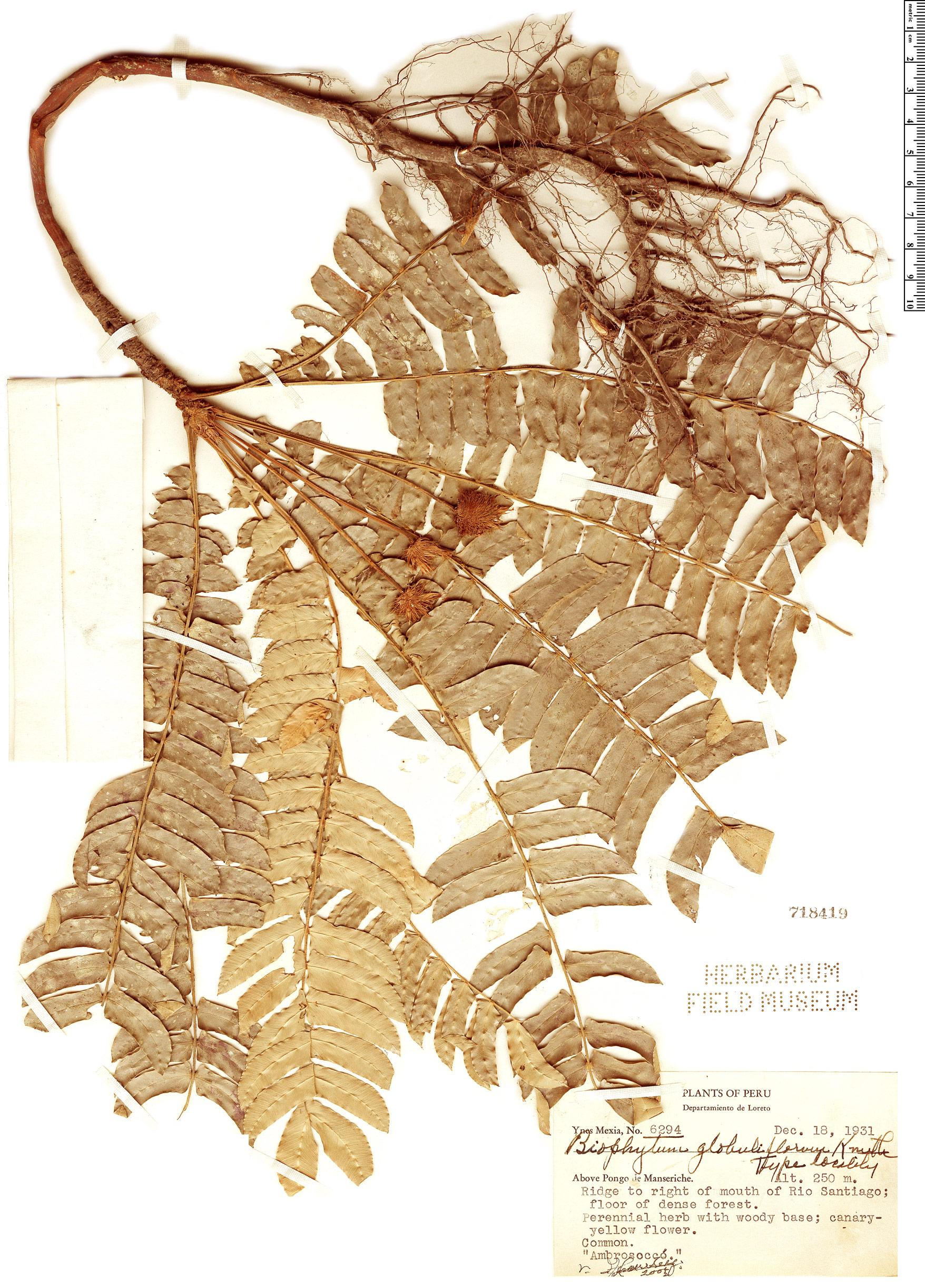 Specimen: Biophytum lindsaeifolium