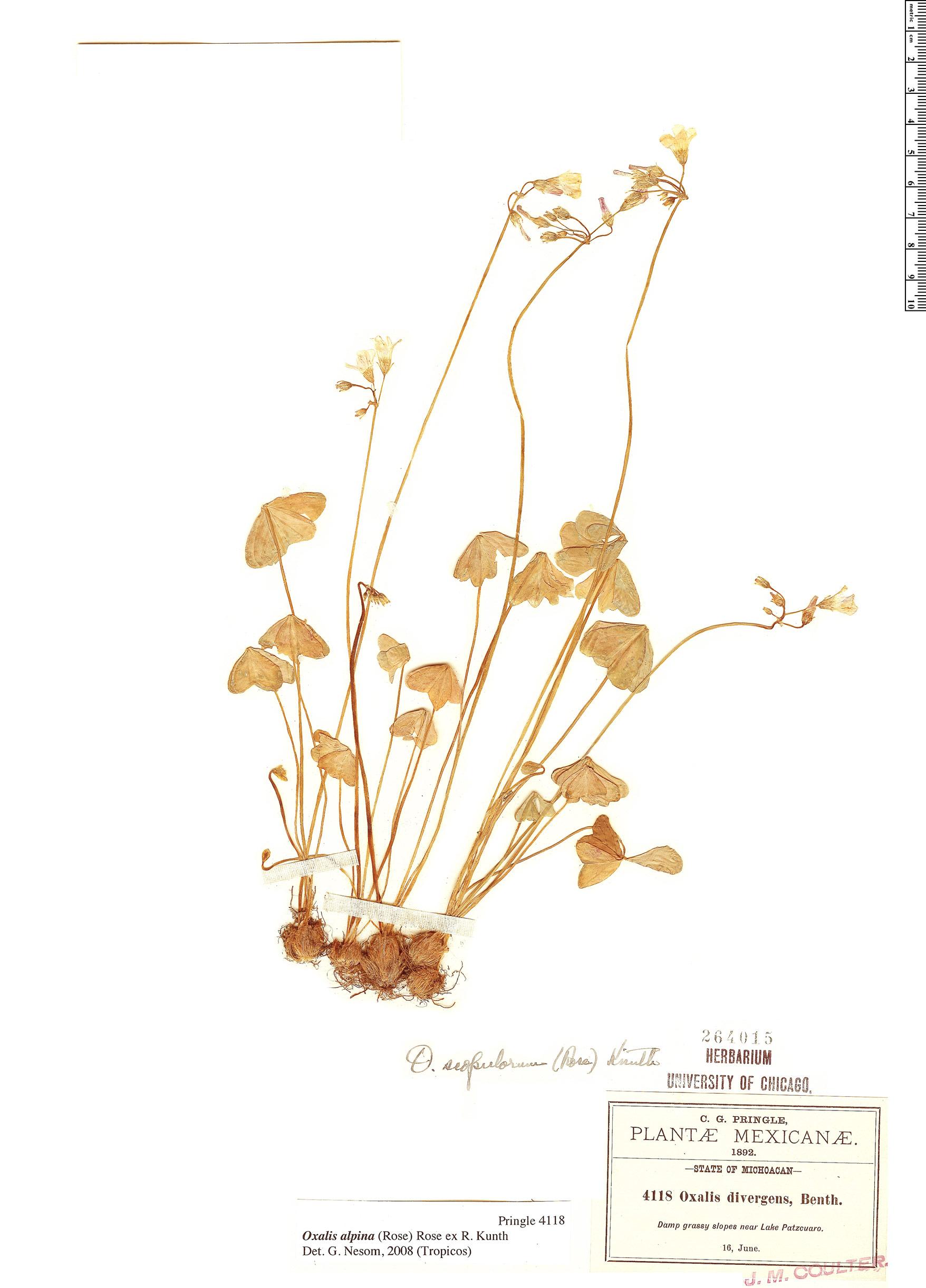 Specimen: Oxalis alpina