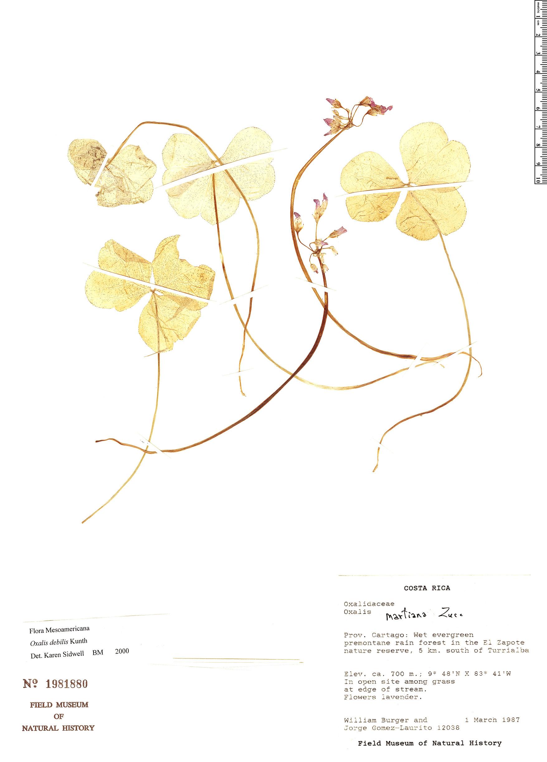 Espécime: Oxalis debilis