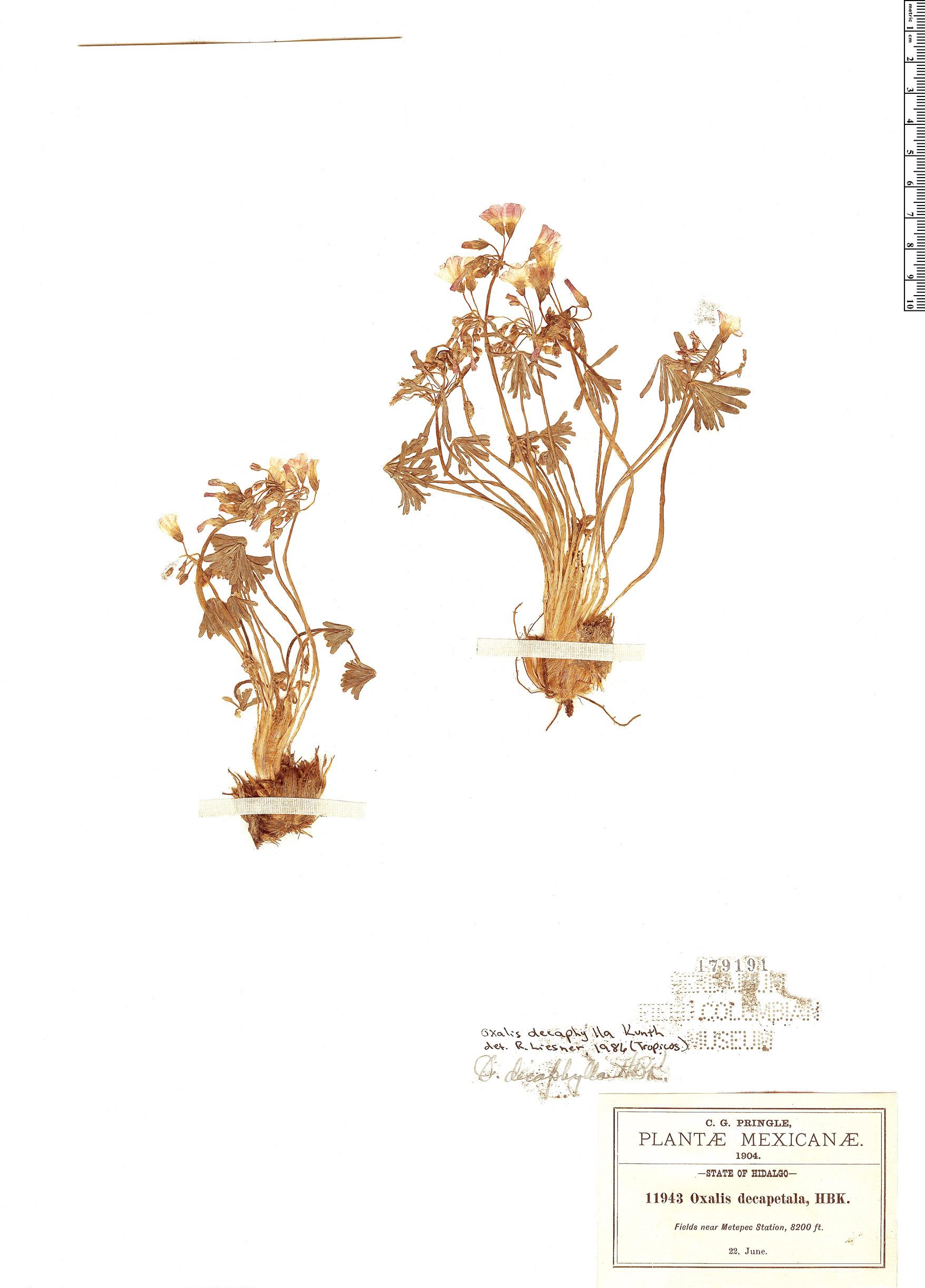 Specimen: Oxalis decaphylla